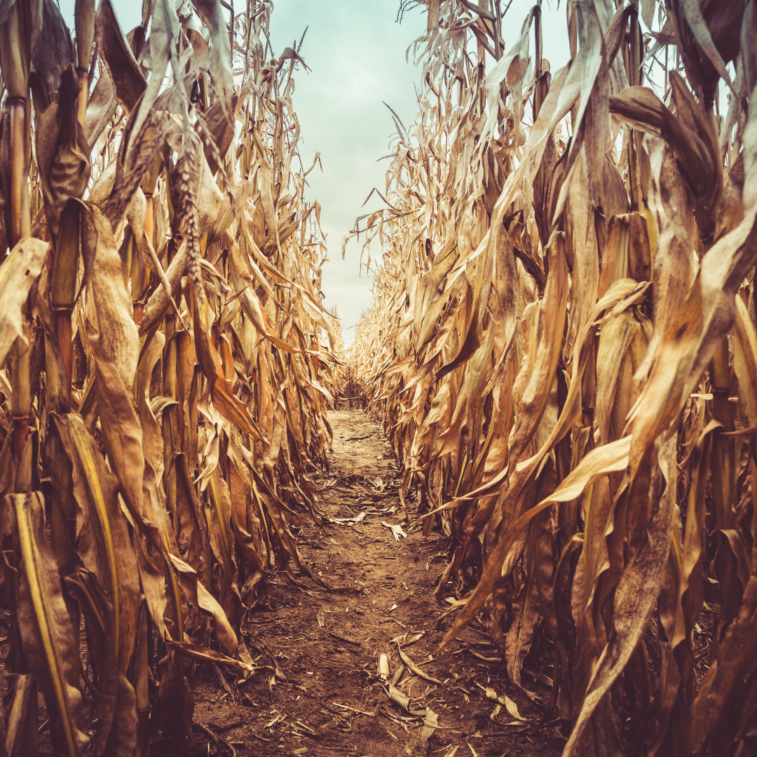 Youth Corn Maze.png