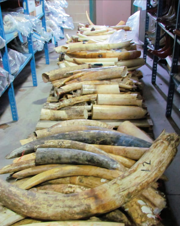 Mugabe and Grace smuggled untold amounts of ivory (and other goods) out of Zimbabwe during their time in power