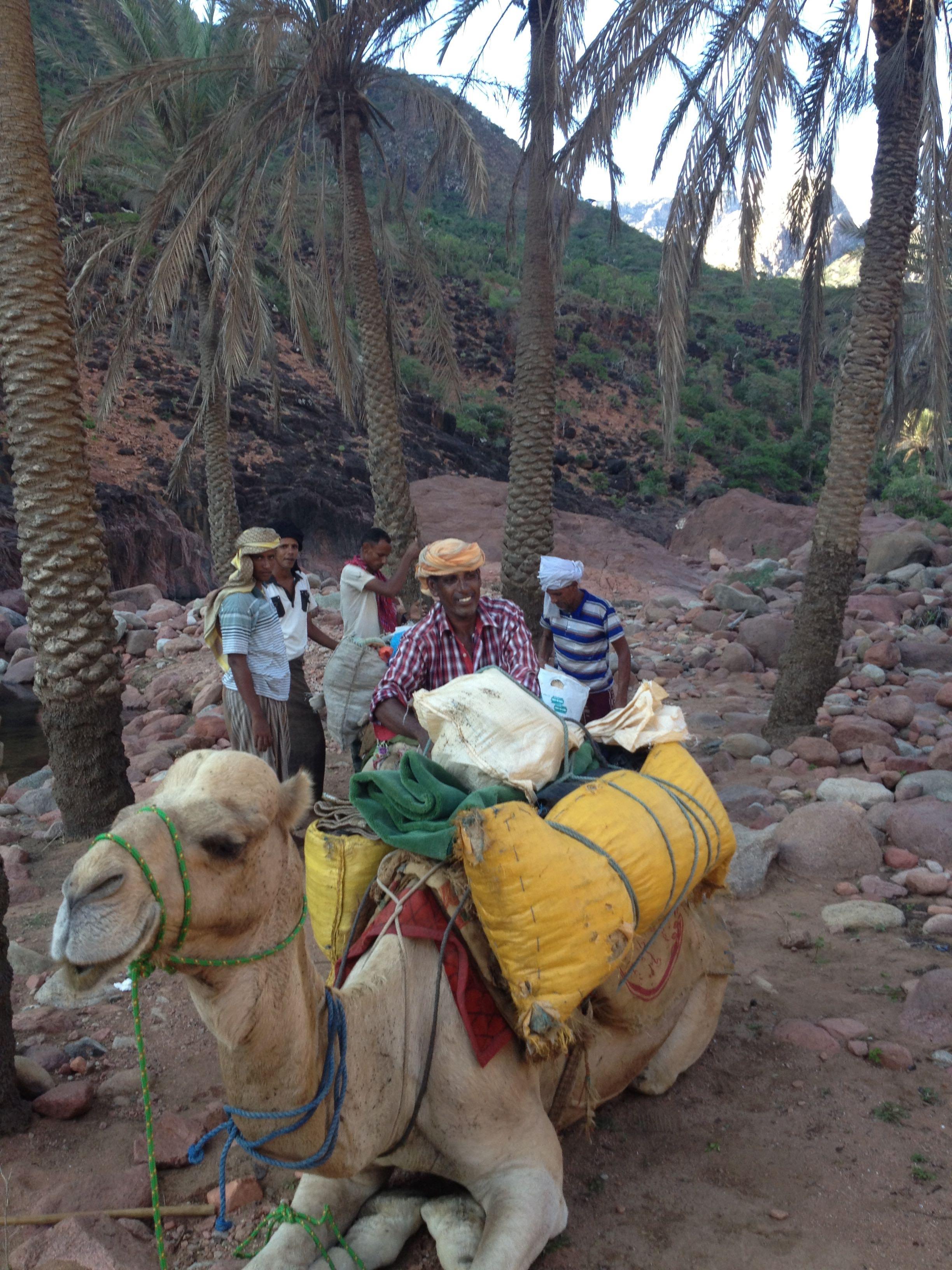 socotra camel.jpg