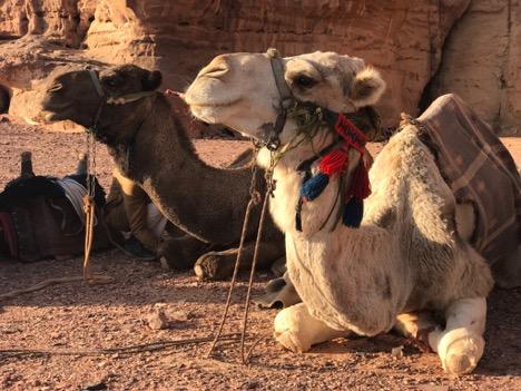 WadiRum Camels.jpg