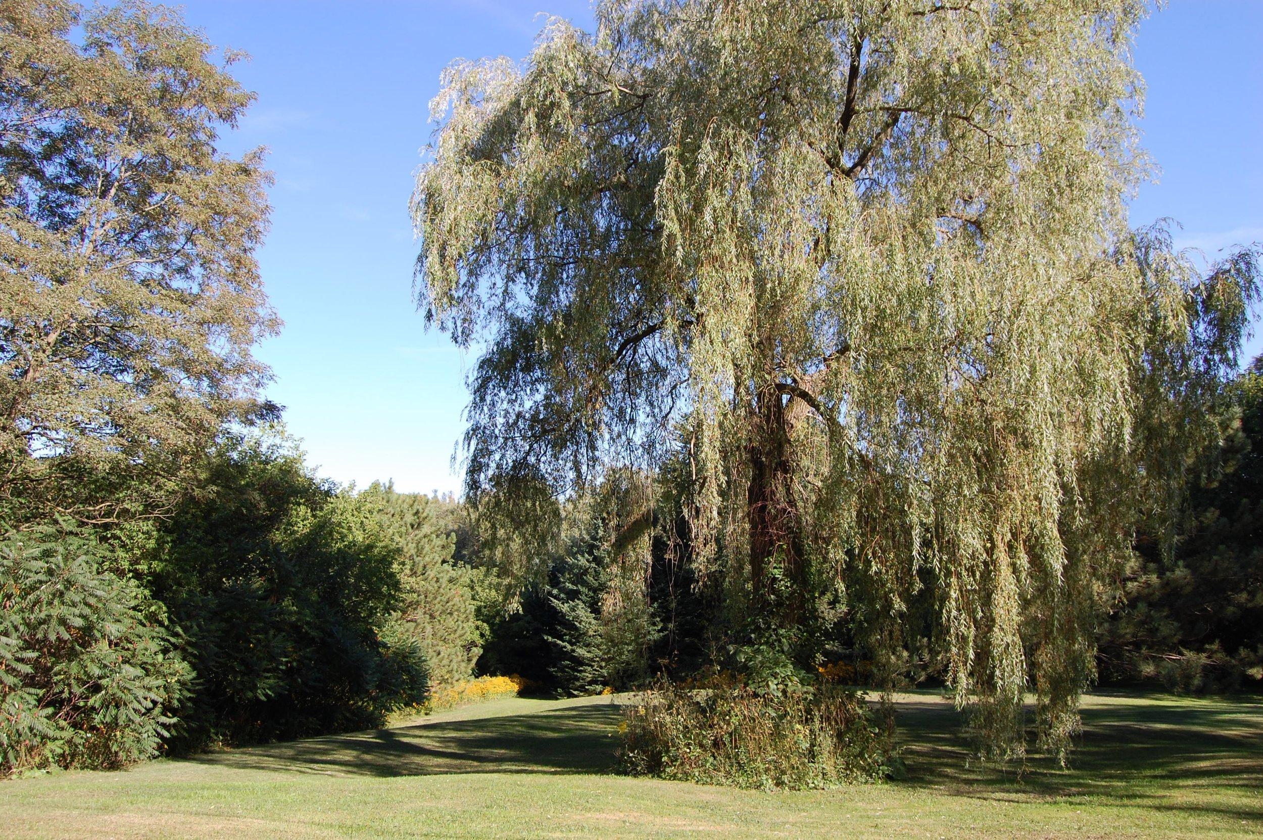 Parklands Weeping Willow.jpg