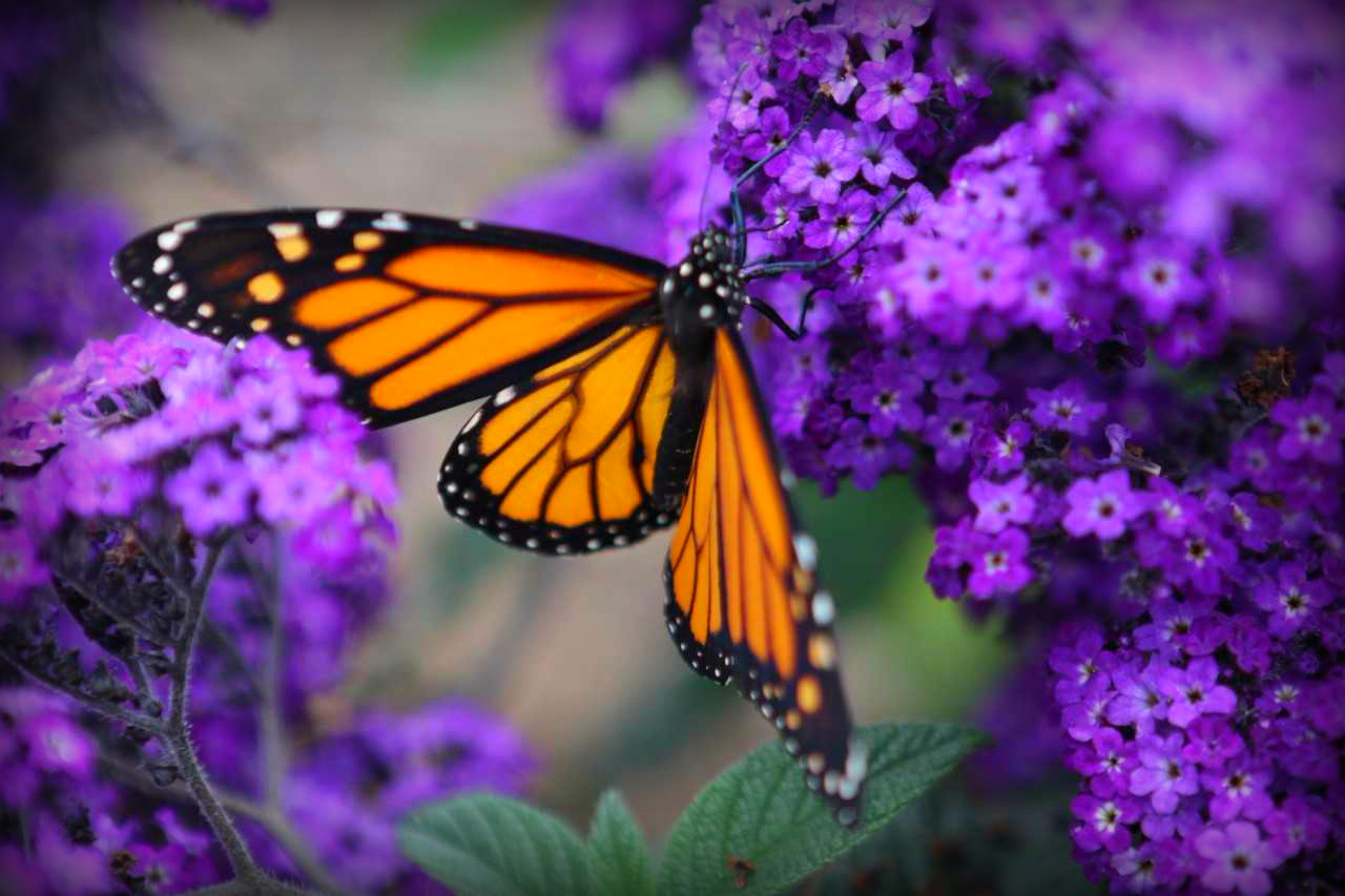 monarch.jpg