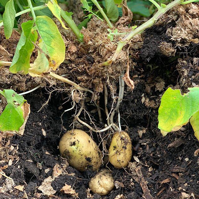 P🥔O🥔T🥔A🥔T🥔O🥔E🥔S #onepotatotwopotatothreepotatofour #mulchmuch #nodig #spenthops #reduceindustrialwaste #beerandpotatoes 💚♻️🍺🌿