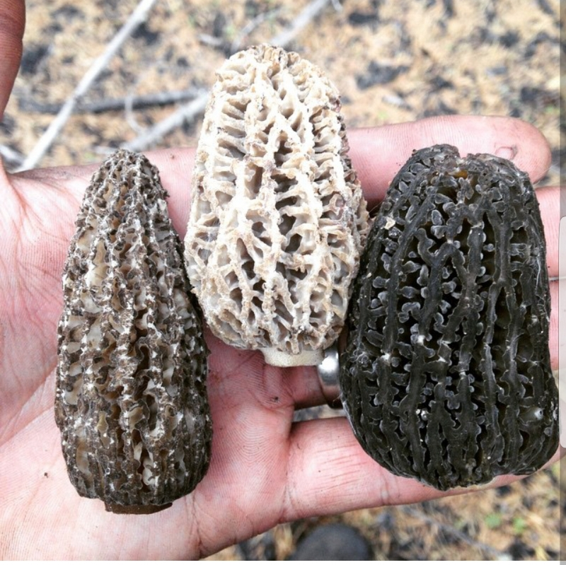 Grey, blond, and green morels.