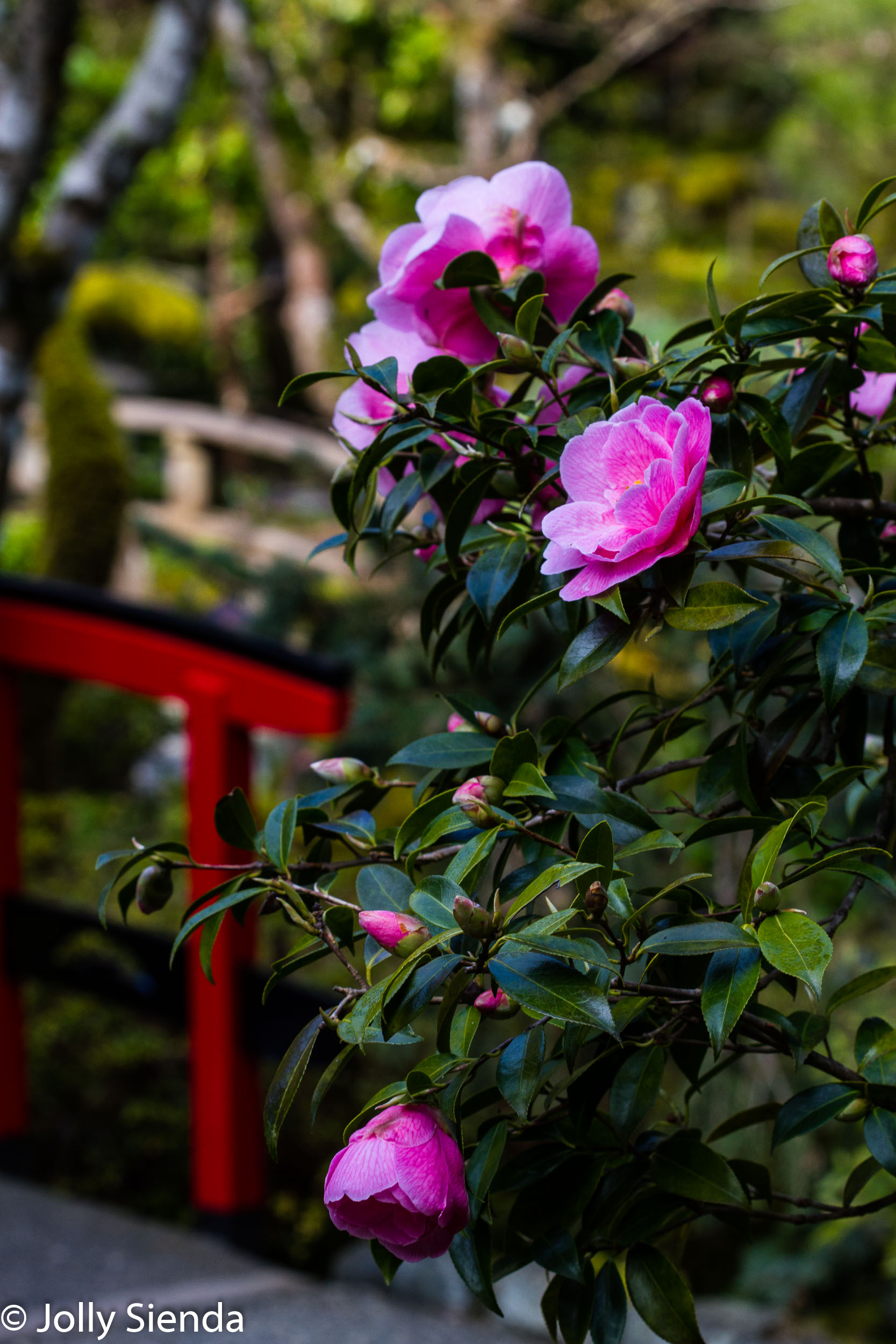 Bright pink carnellias flower bush overlooks a red Chinese bridg