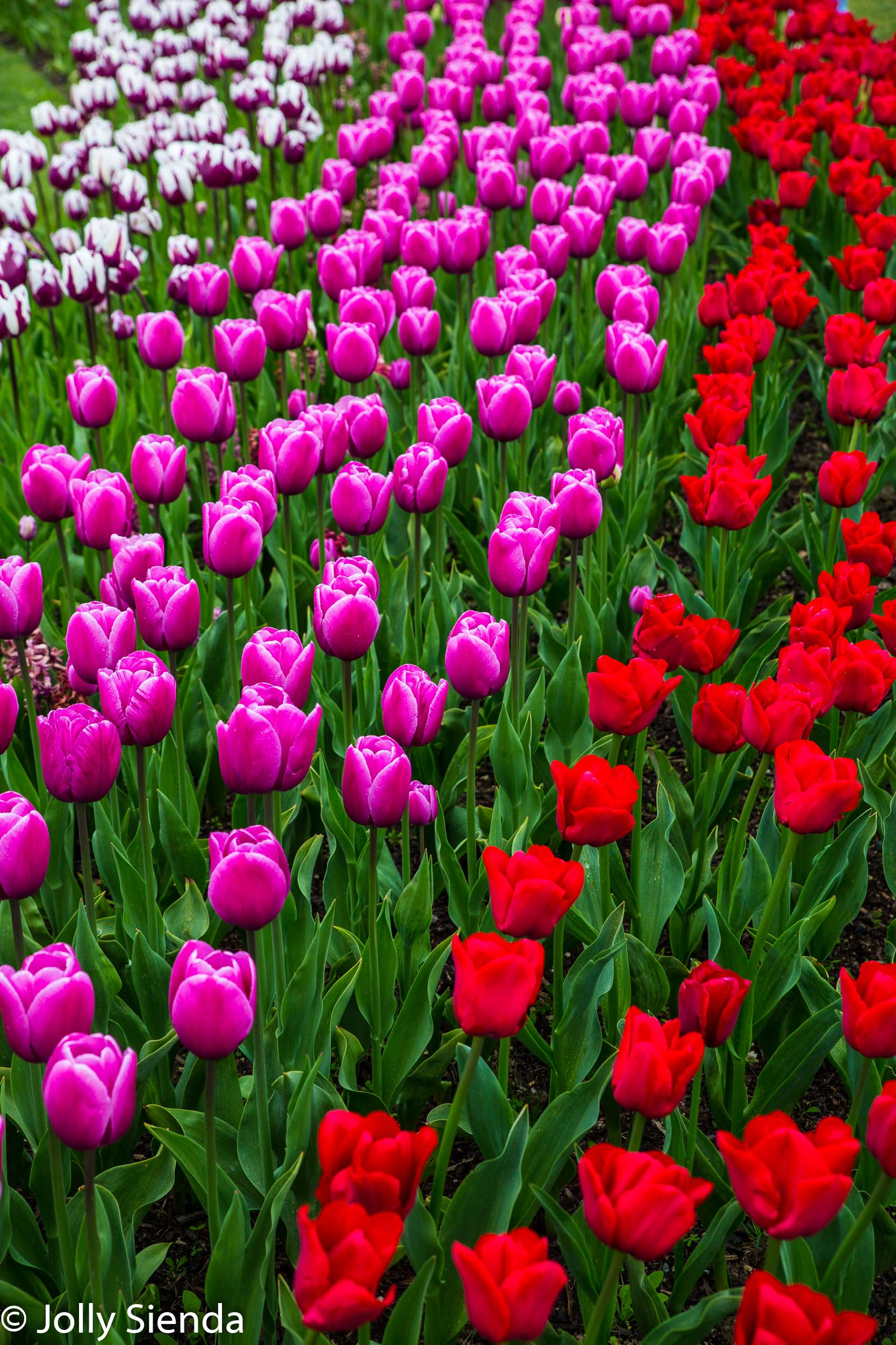 Rows of multi-colored purple and red tulips in the green garden