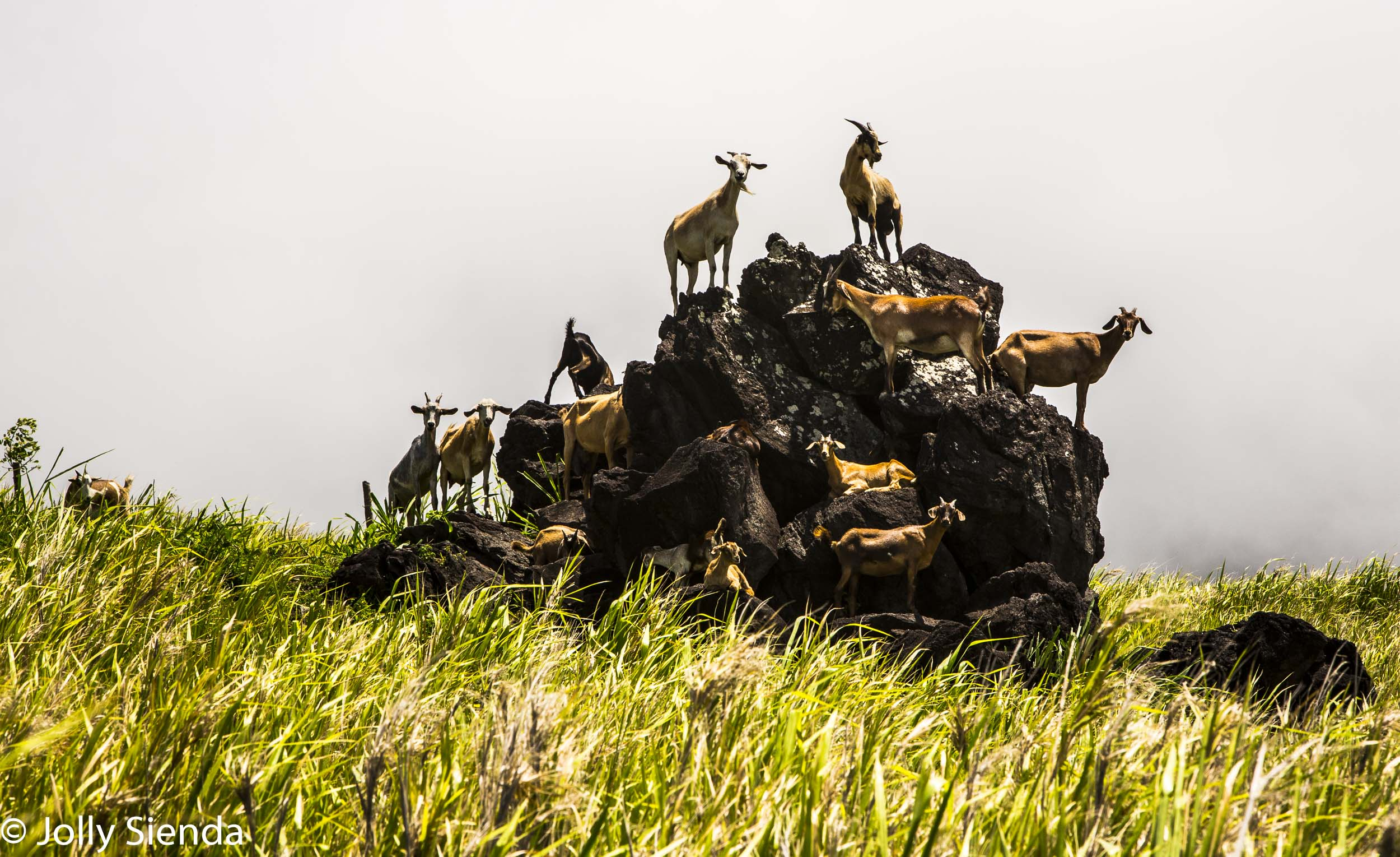 Herd of goats stand on a large lava rock, St. Kitts, Caribbean.
