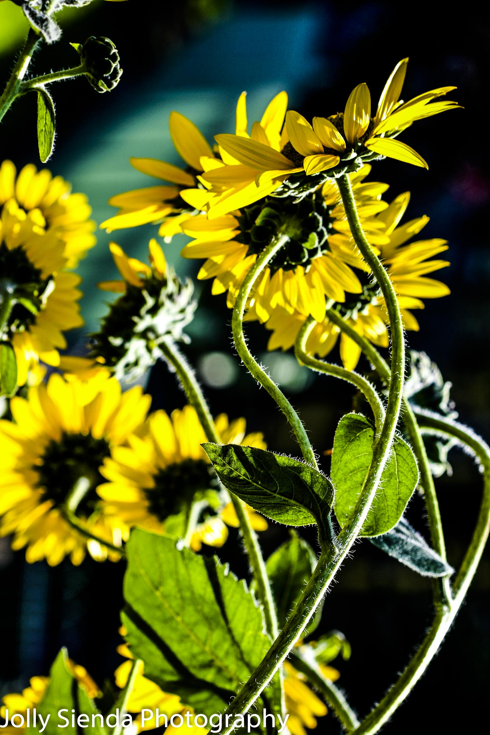 Sunflowers dance in the sunlight