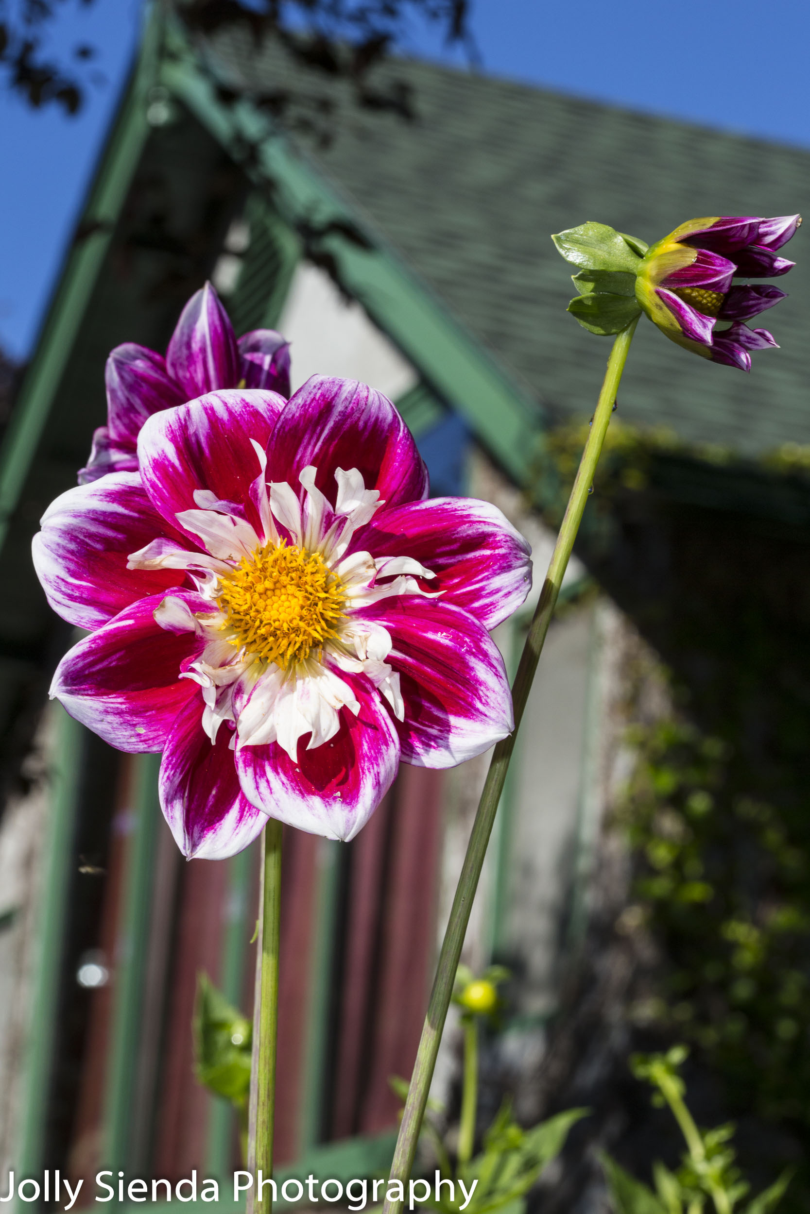 Magenta, white, and yellow dahlia flower and a house