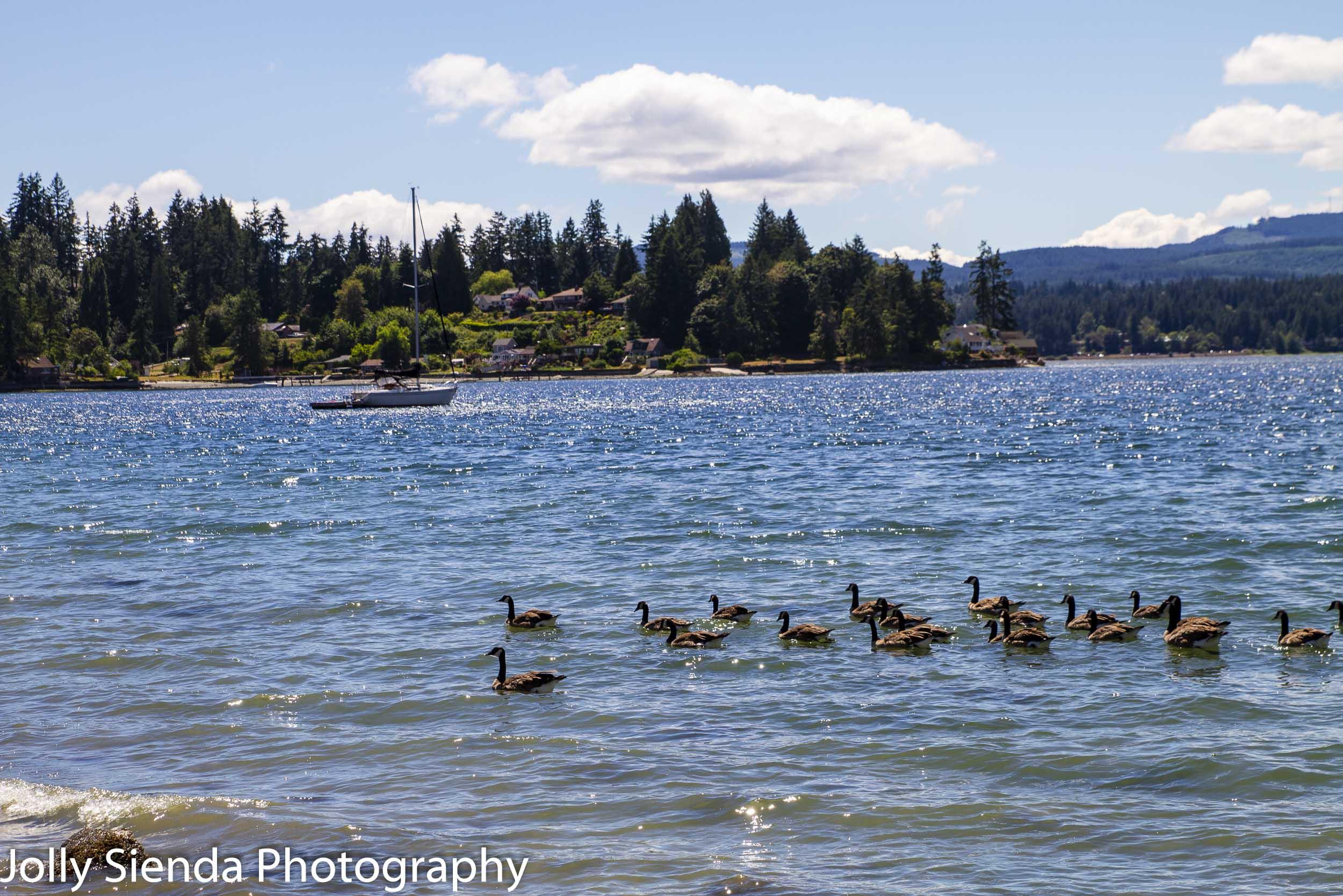 Geese swim along the shore at Tracyton, Washington.