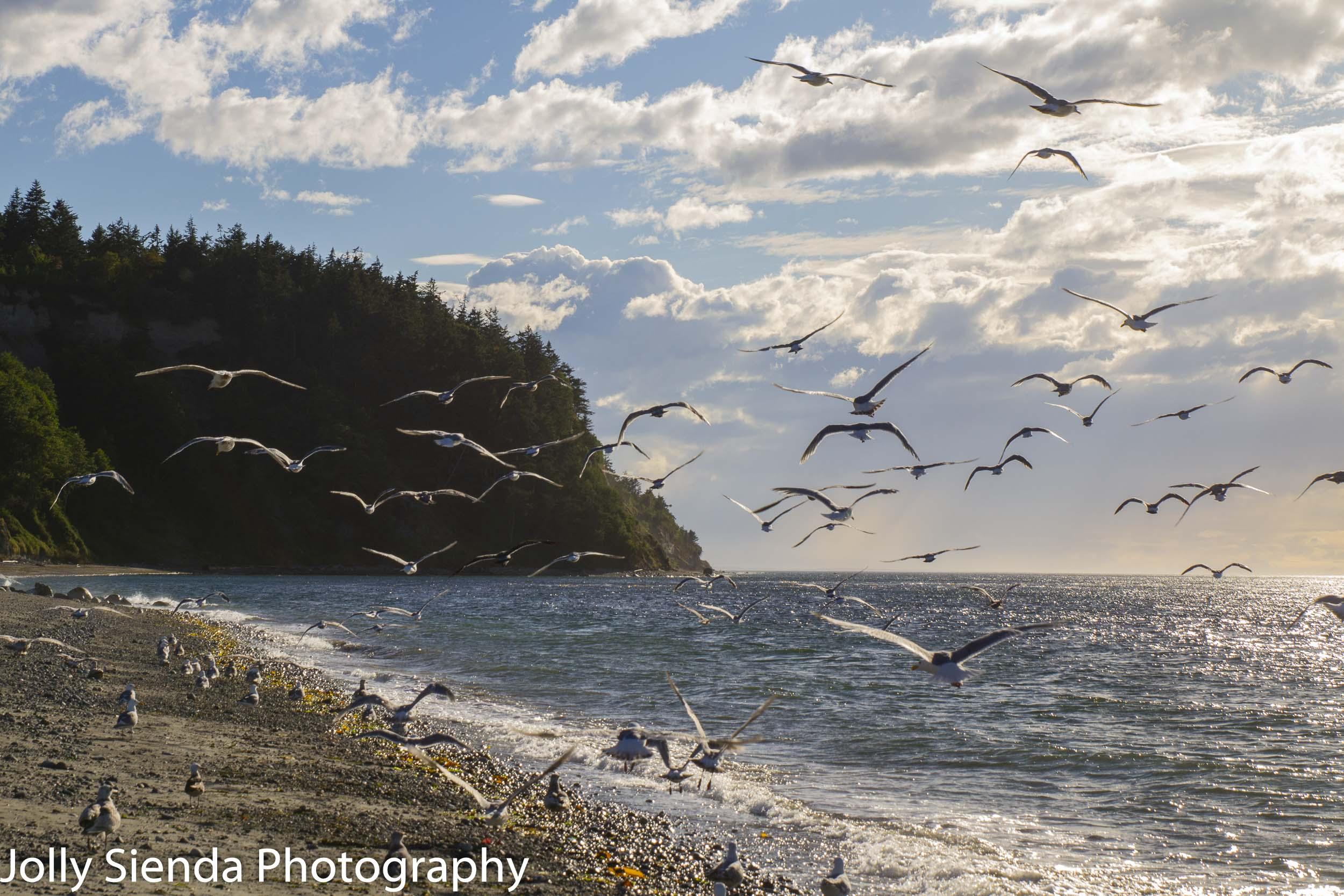 Seagulls along the shore at Fort Worden beach, Fort Worden, Washington.