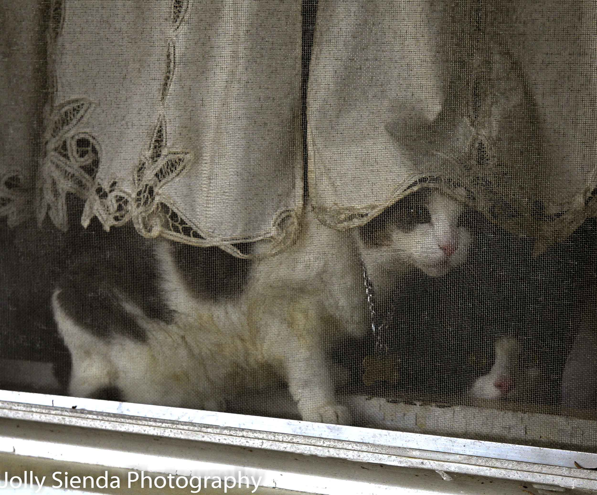 Cats peaking through a screen window