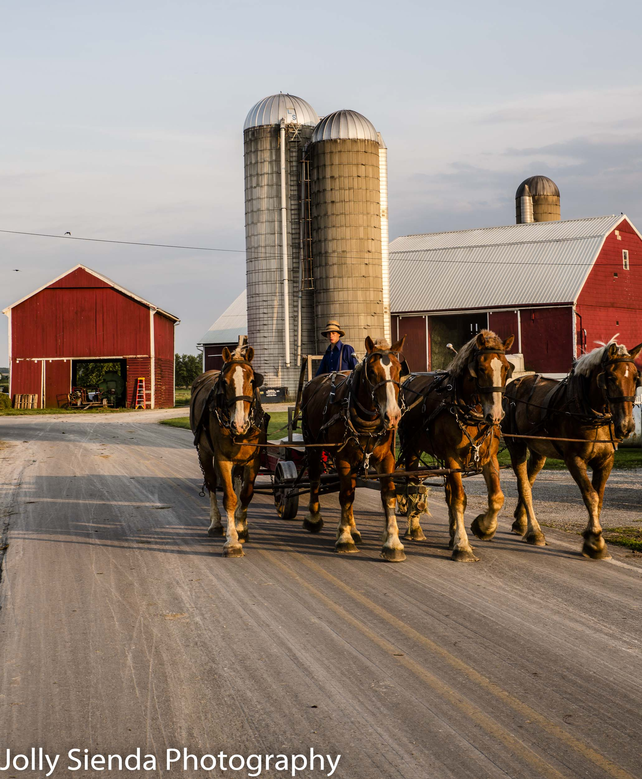 Team of quarter horses, led by an Amish farmer, trots, leaving a