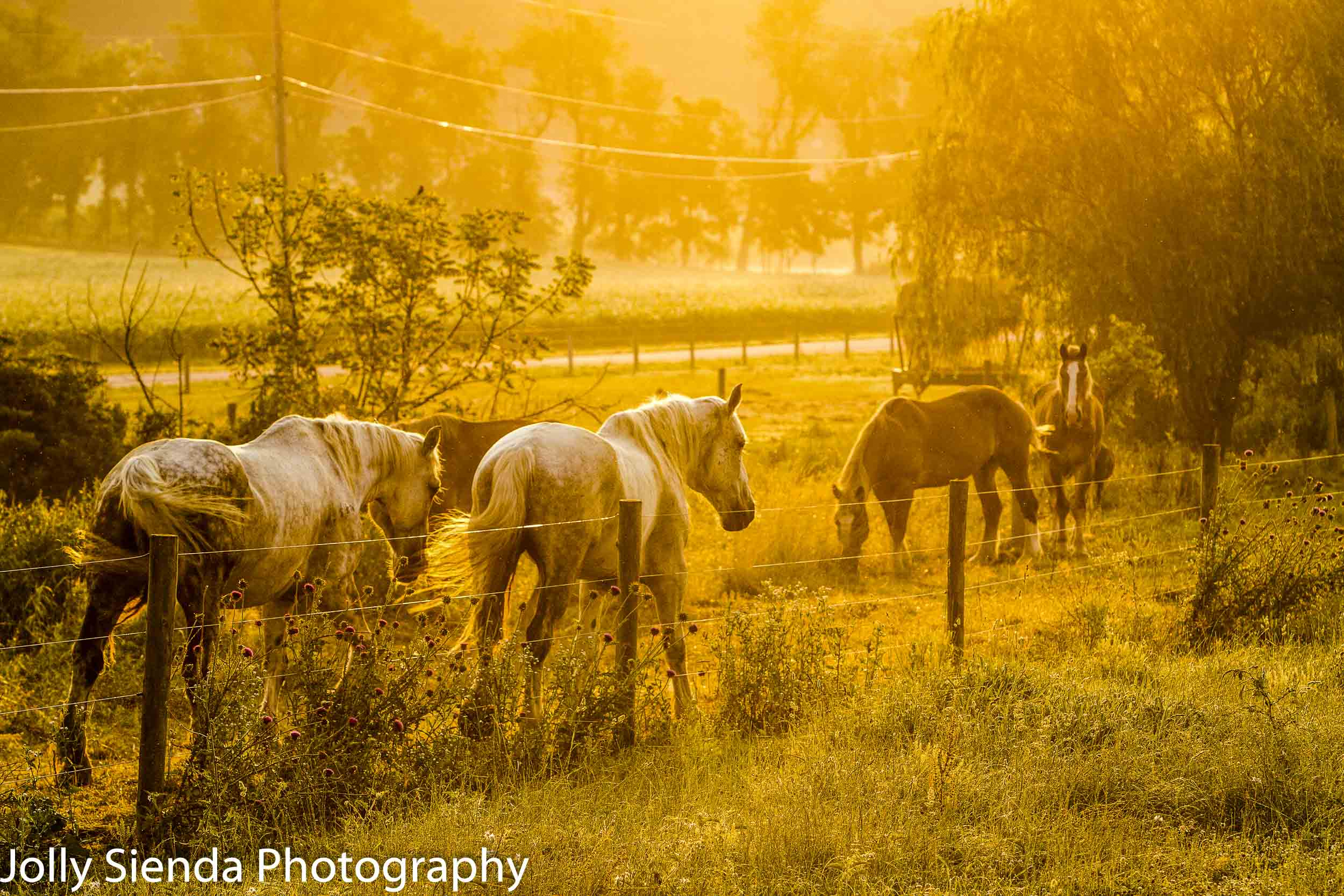 Amish team of horses in the early morning light before the heat