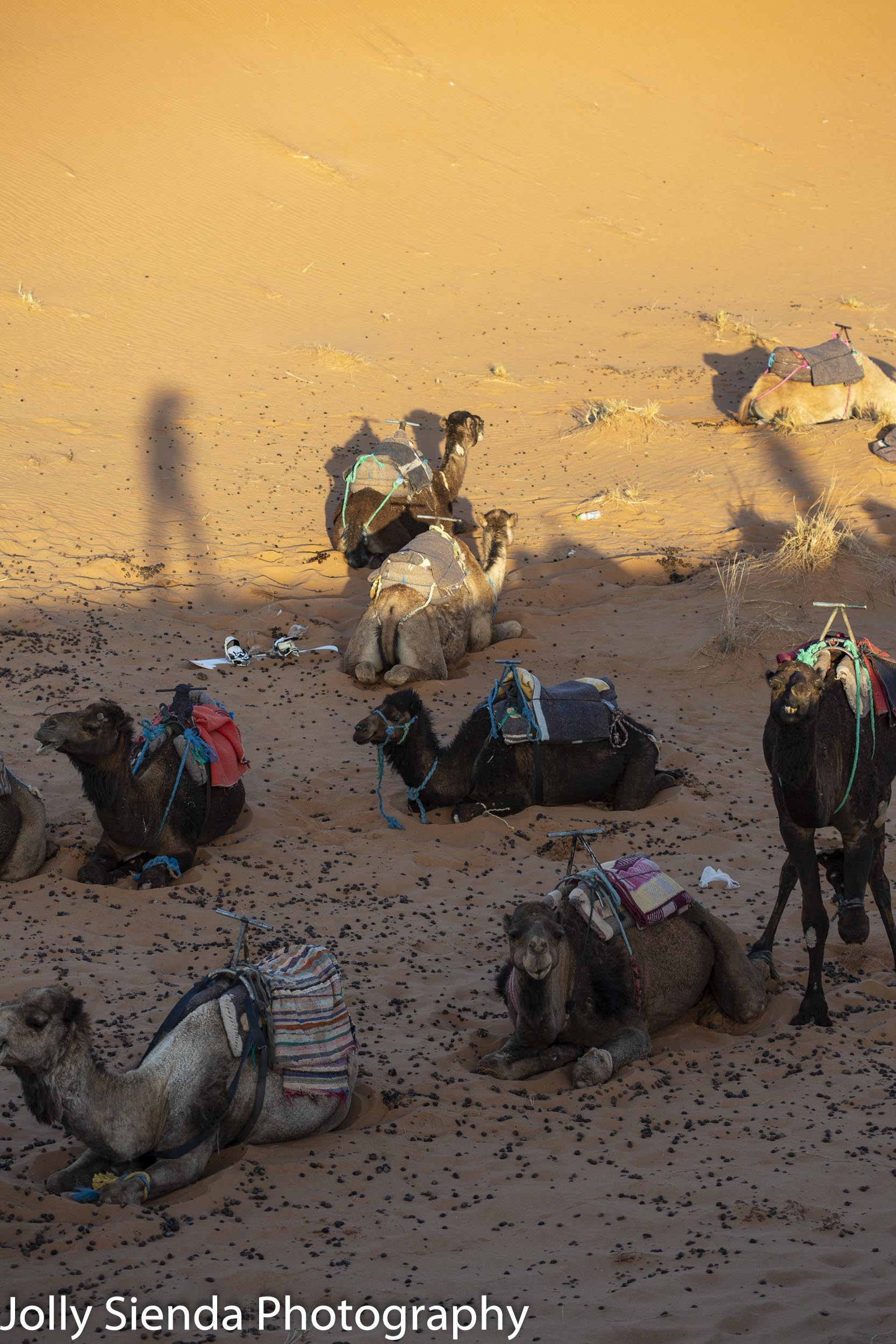 Camels rest on the dunes