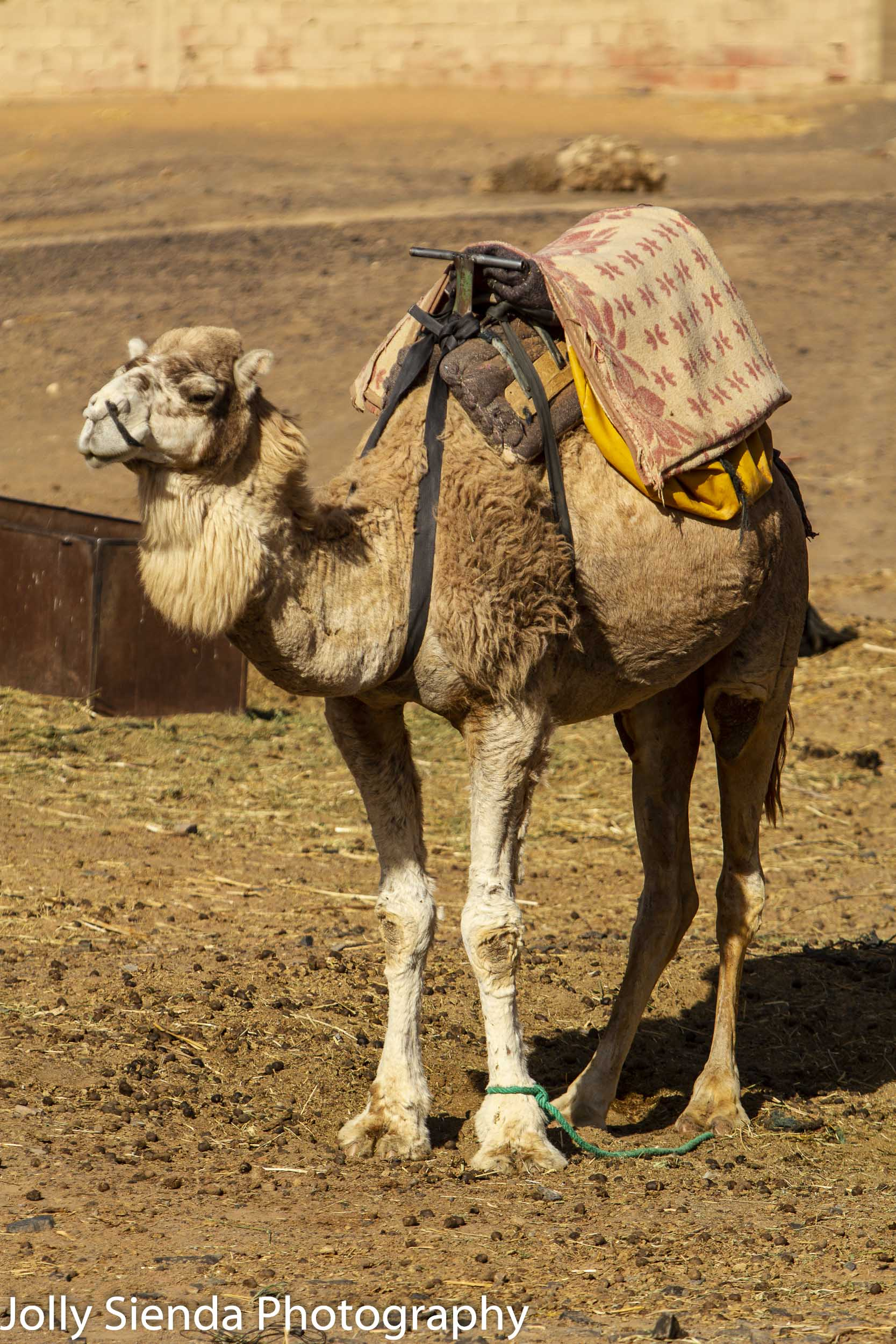 Camel wears a saddle