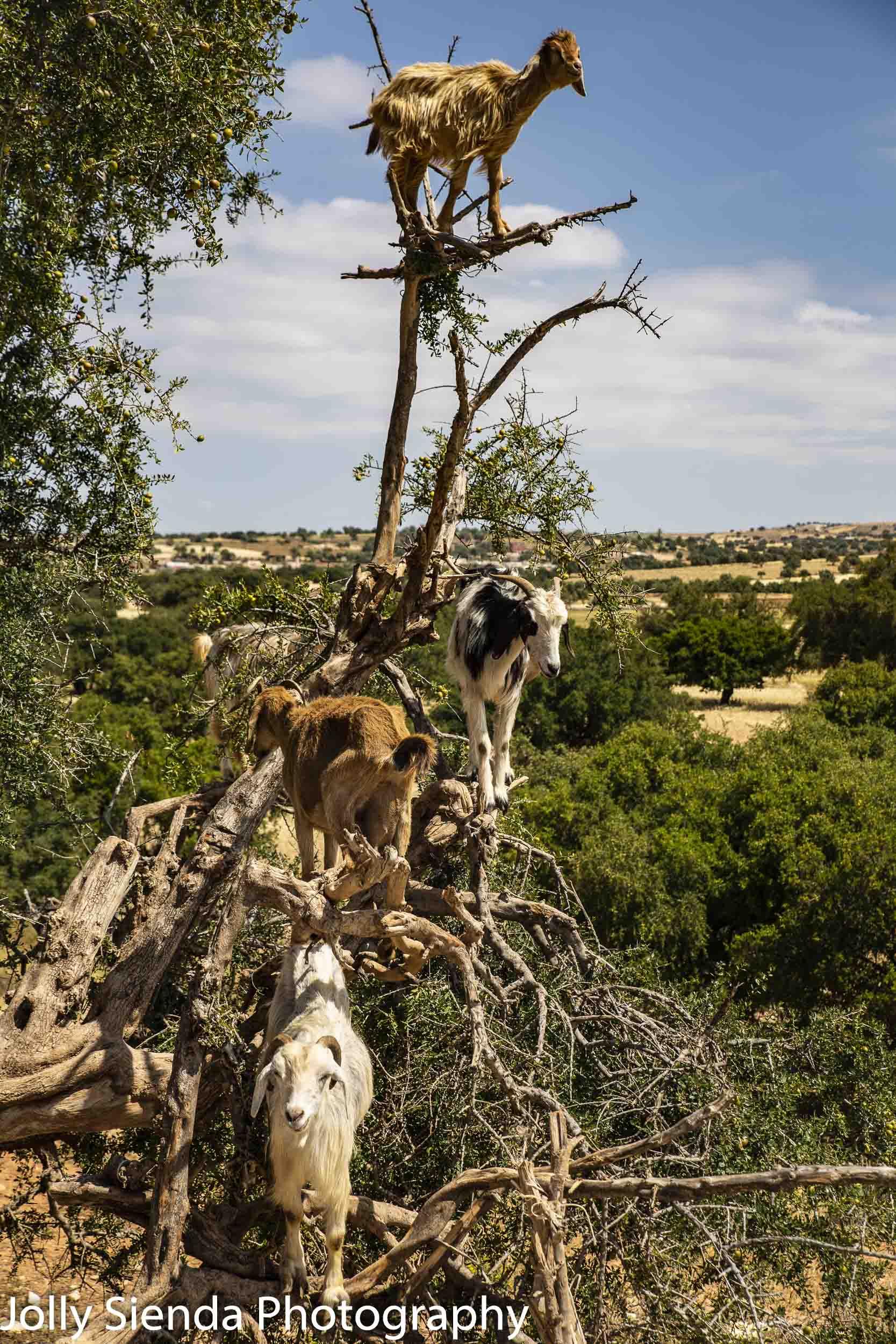 Cloven-hoofed goats climb the Argon Tree