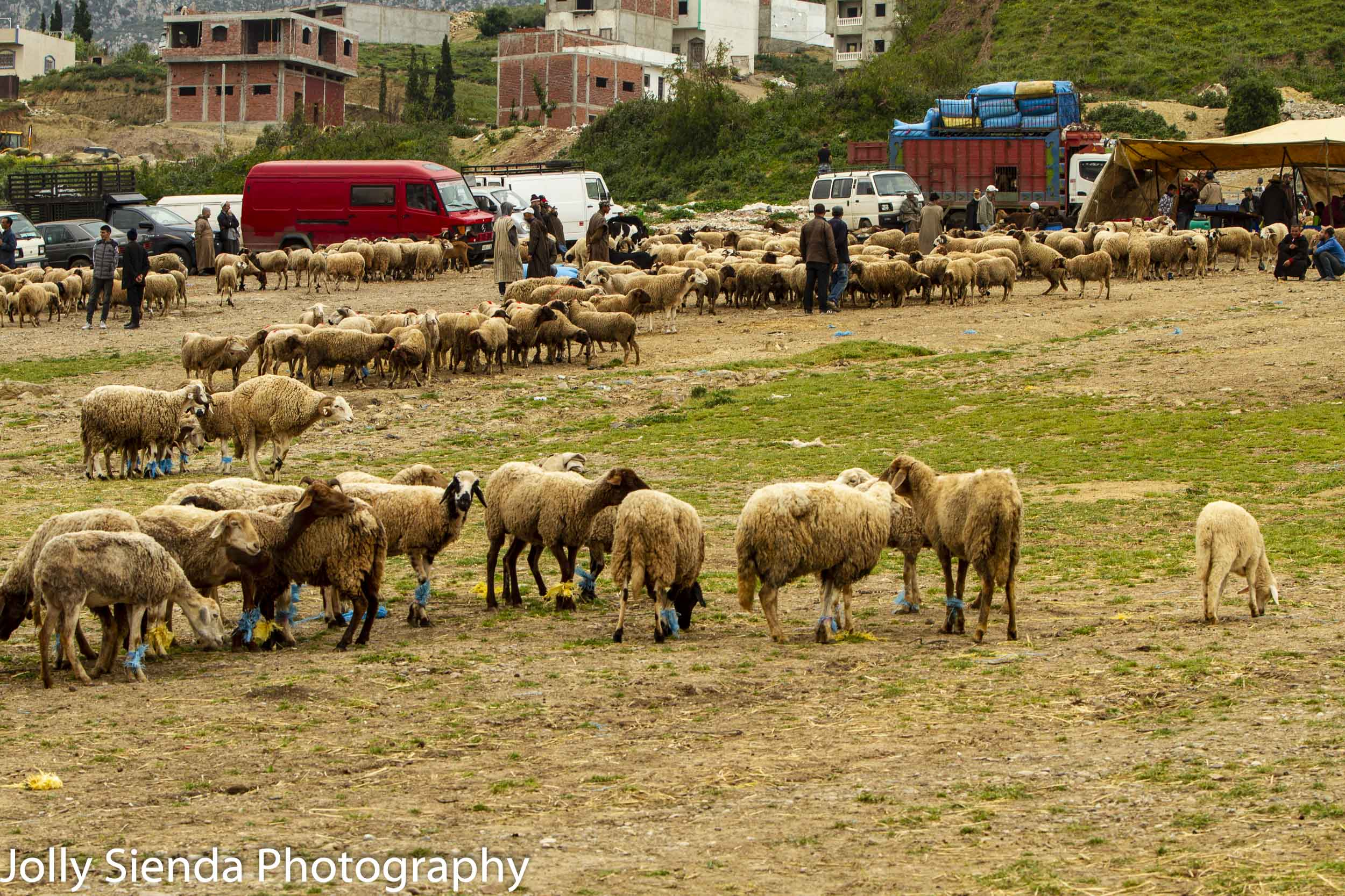 Sheep for sale at a market