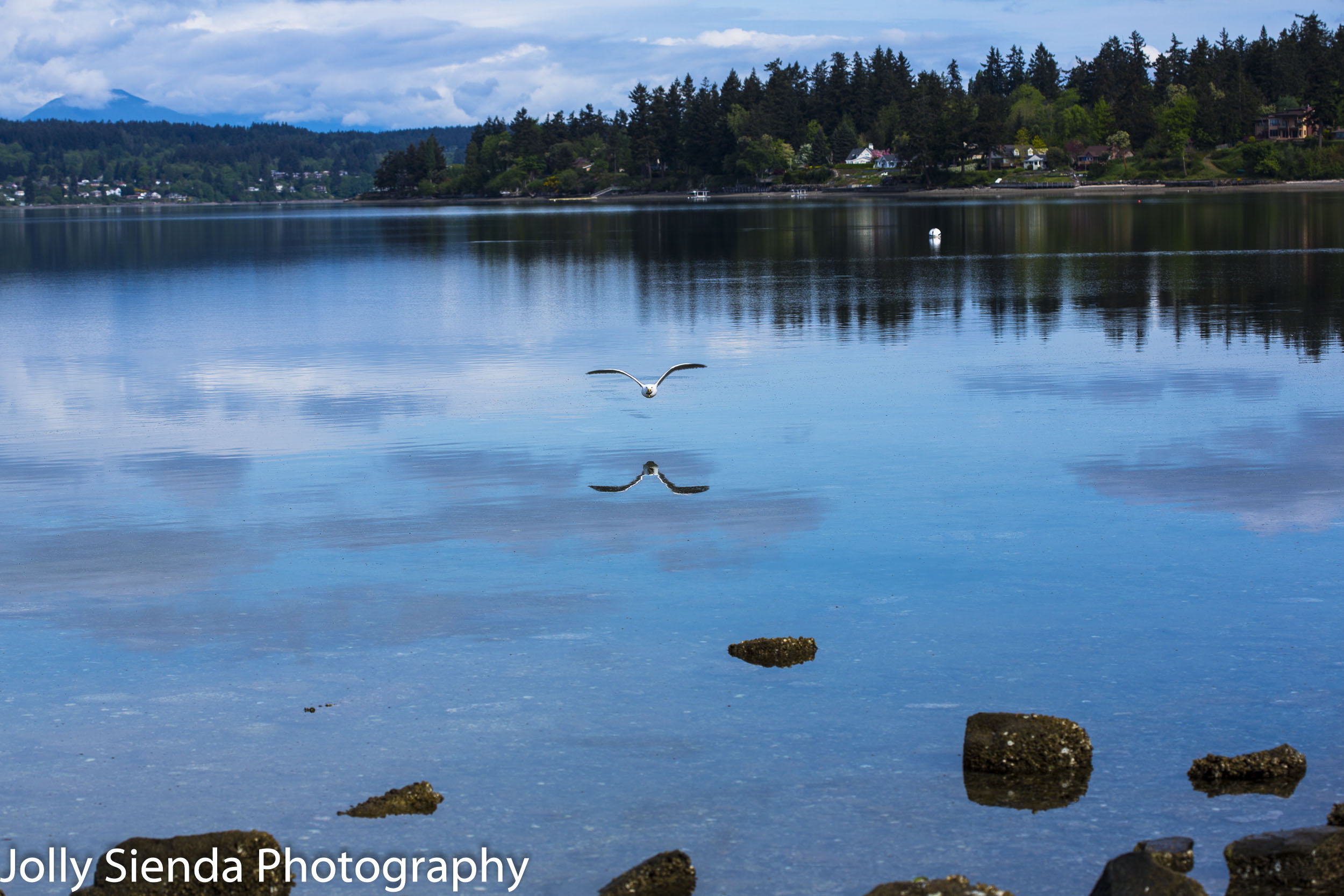 Seagull and its reflection flys low over Dyes Inlet