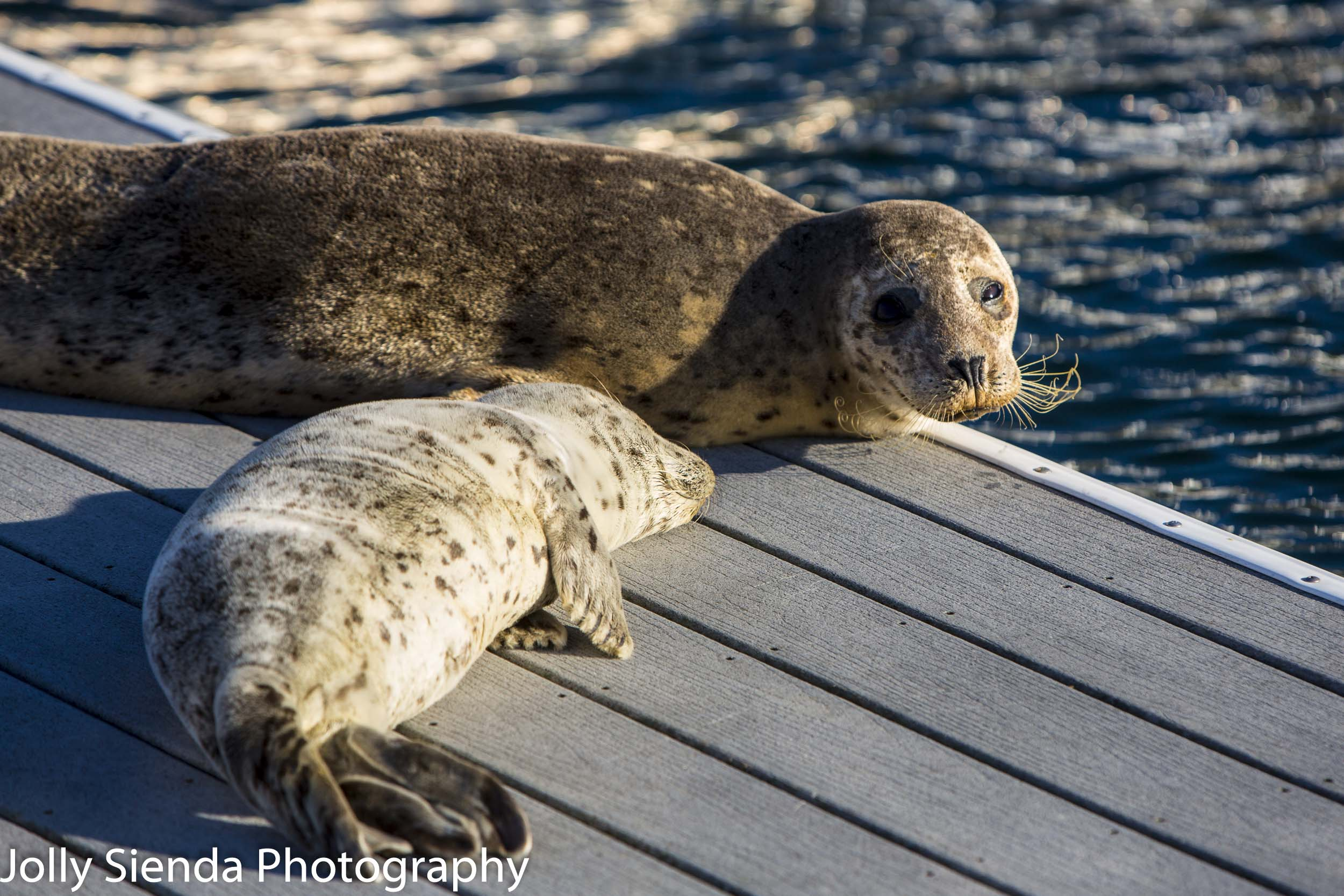 Harbor seal and a pup on the dock