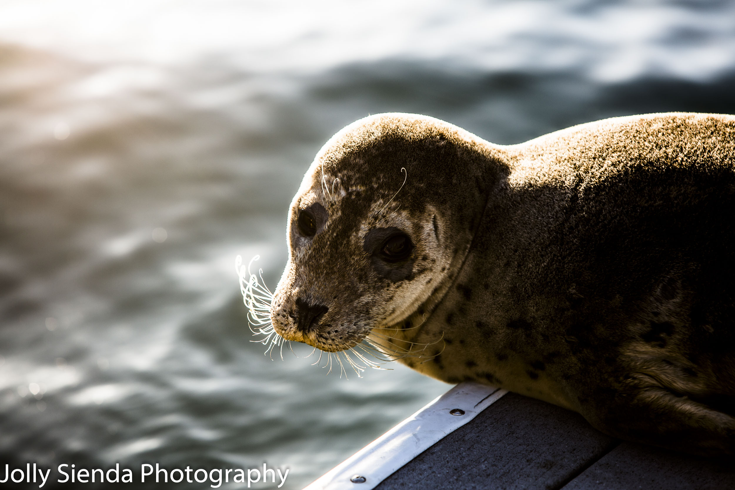 Harbor Seal with long whiskers gets some sun on the dock