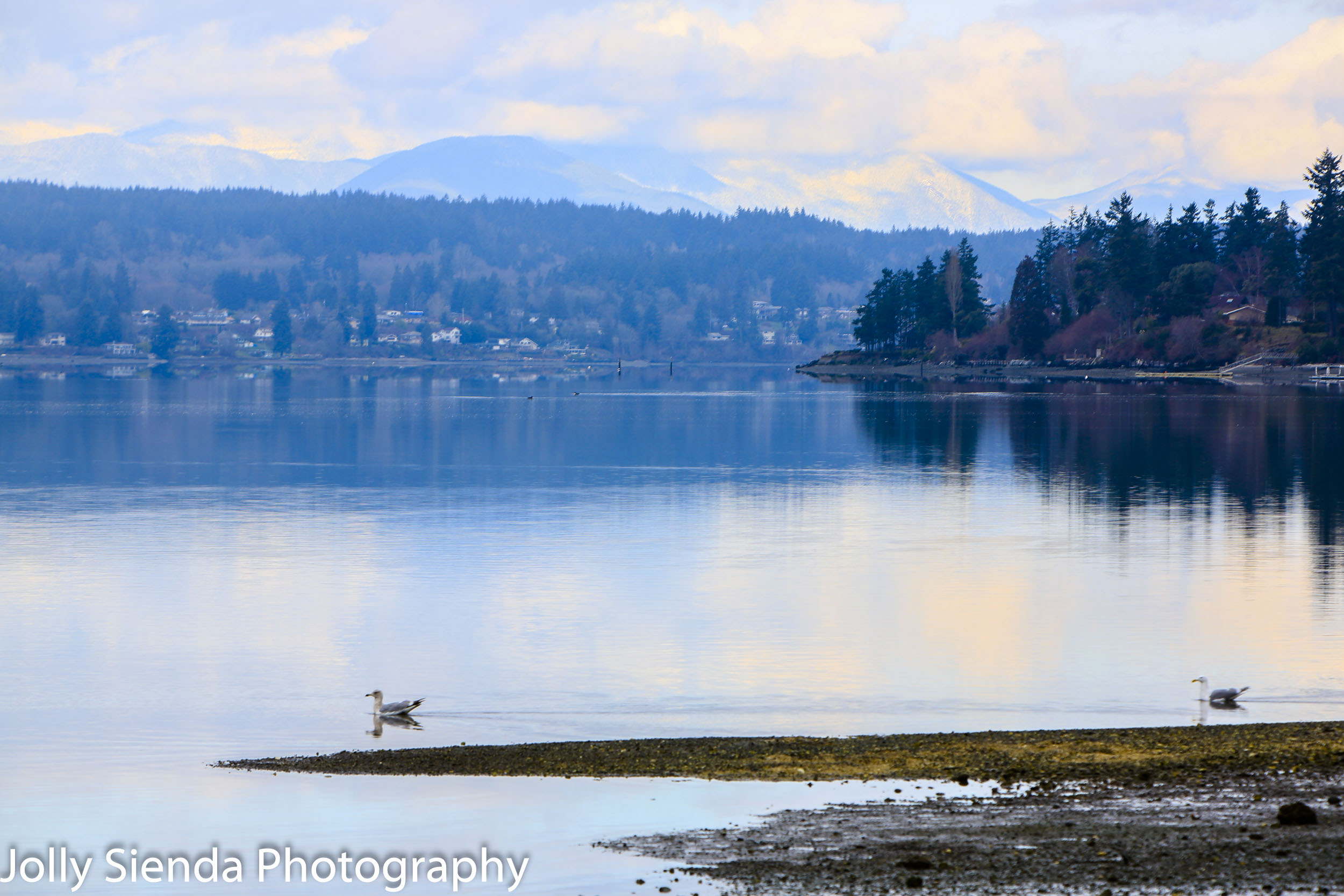 Seagulls glide on a calm bay with the Olympic Mountains in the b