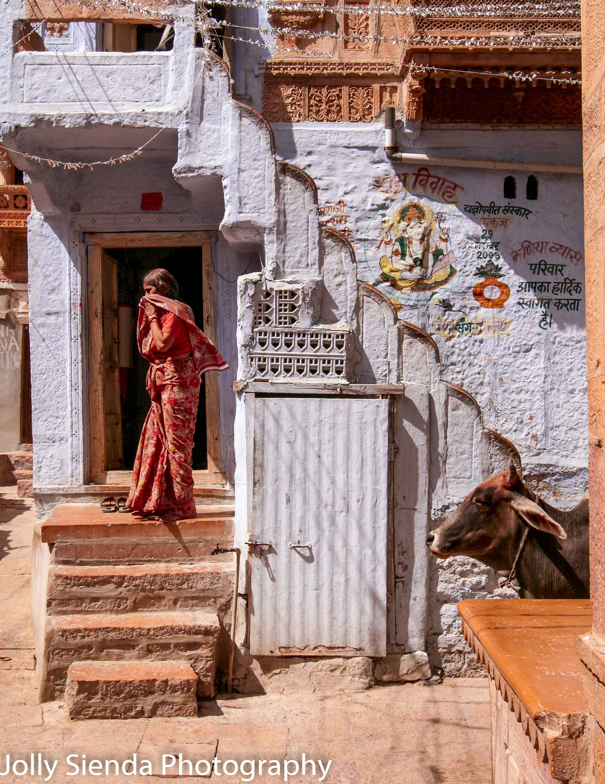 Looking for something - woman in a saris and a cow