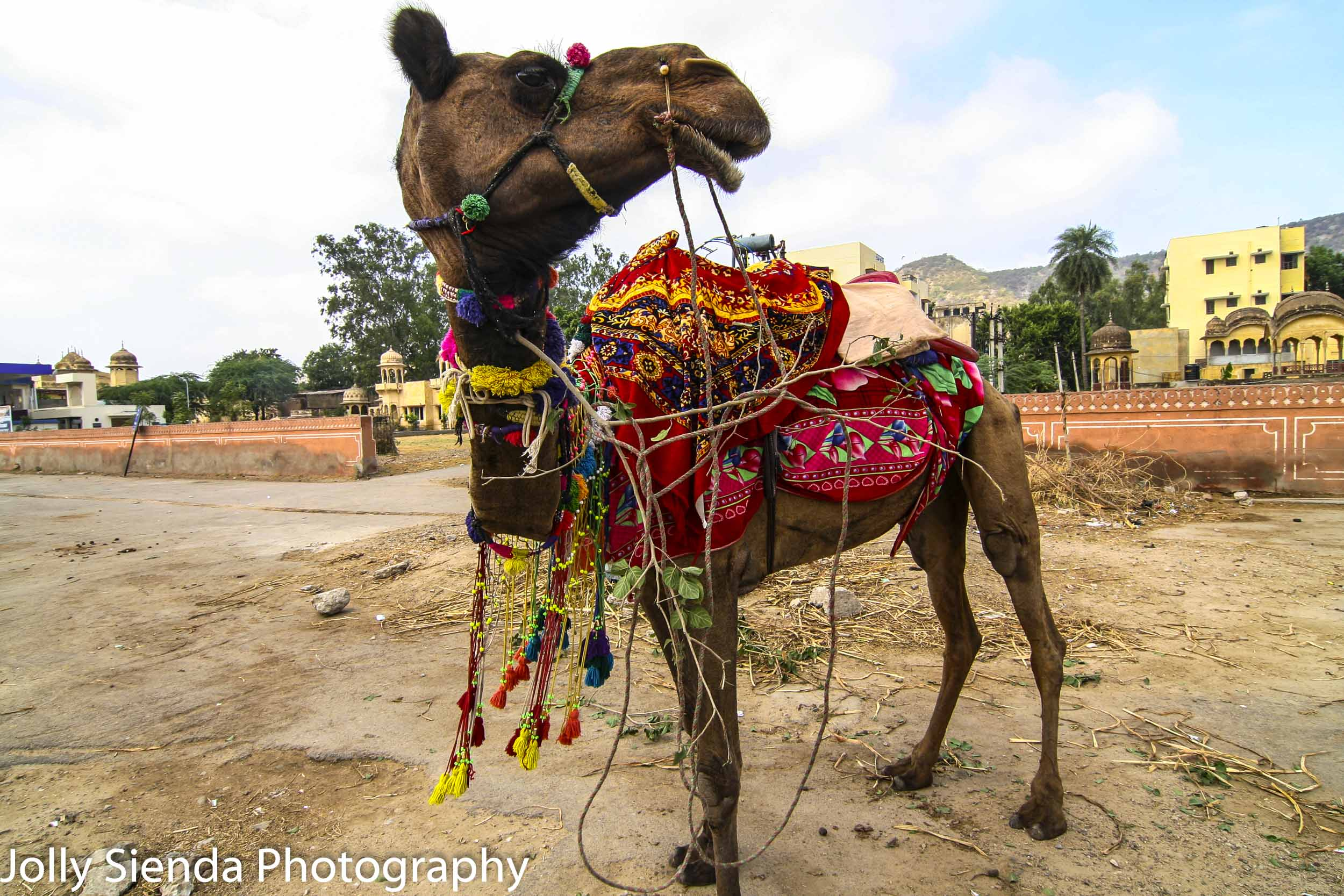 Decorated India Camel in the Pink City looks to the right