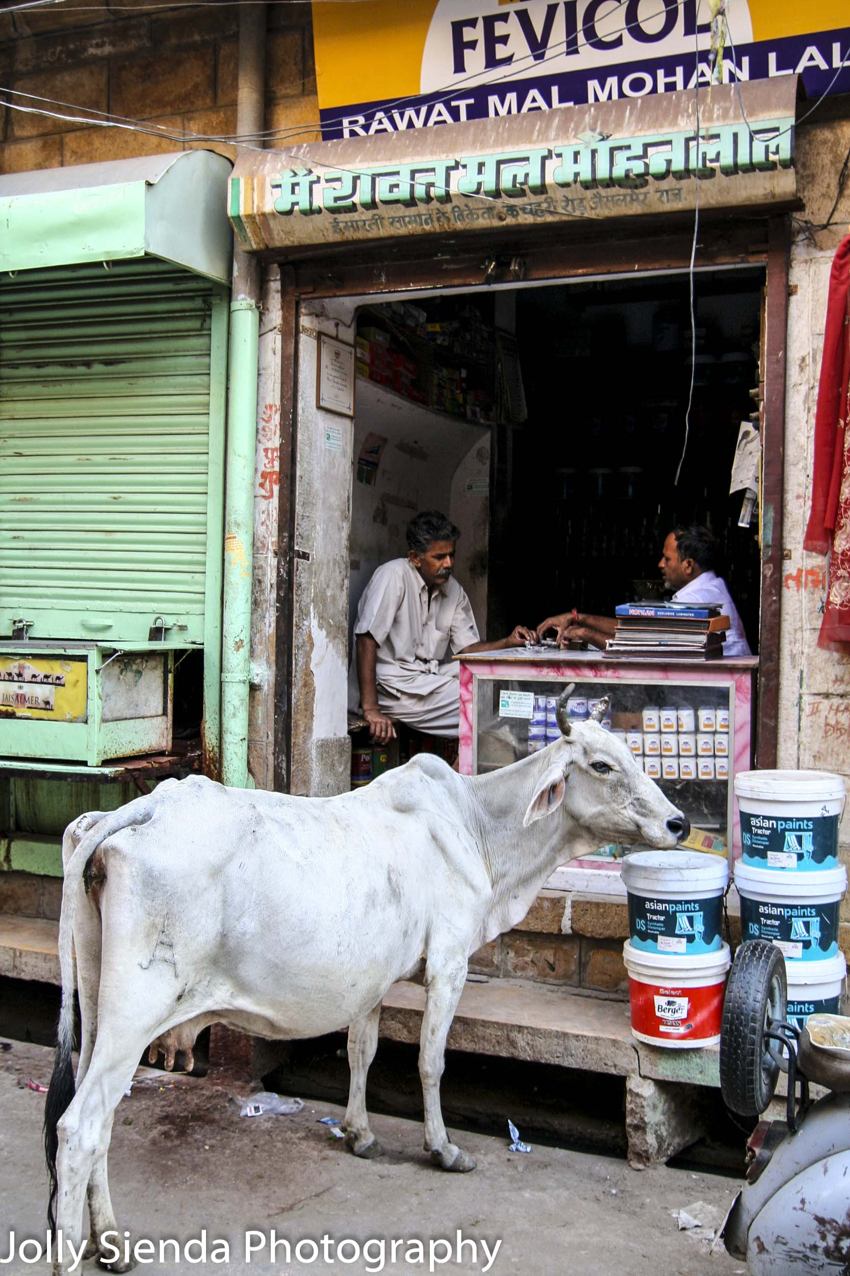 White cow with horns listens to men in a shop playing cards