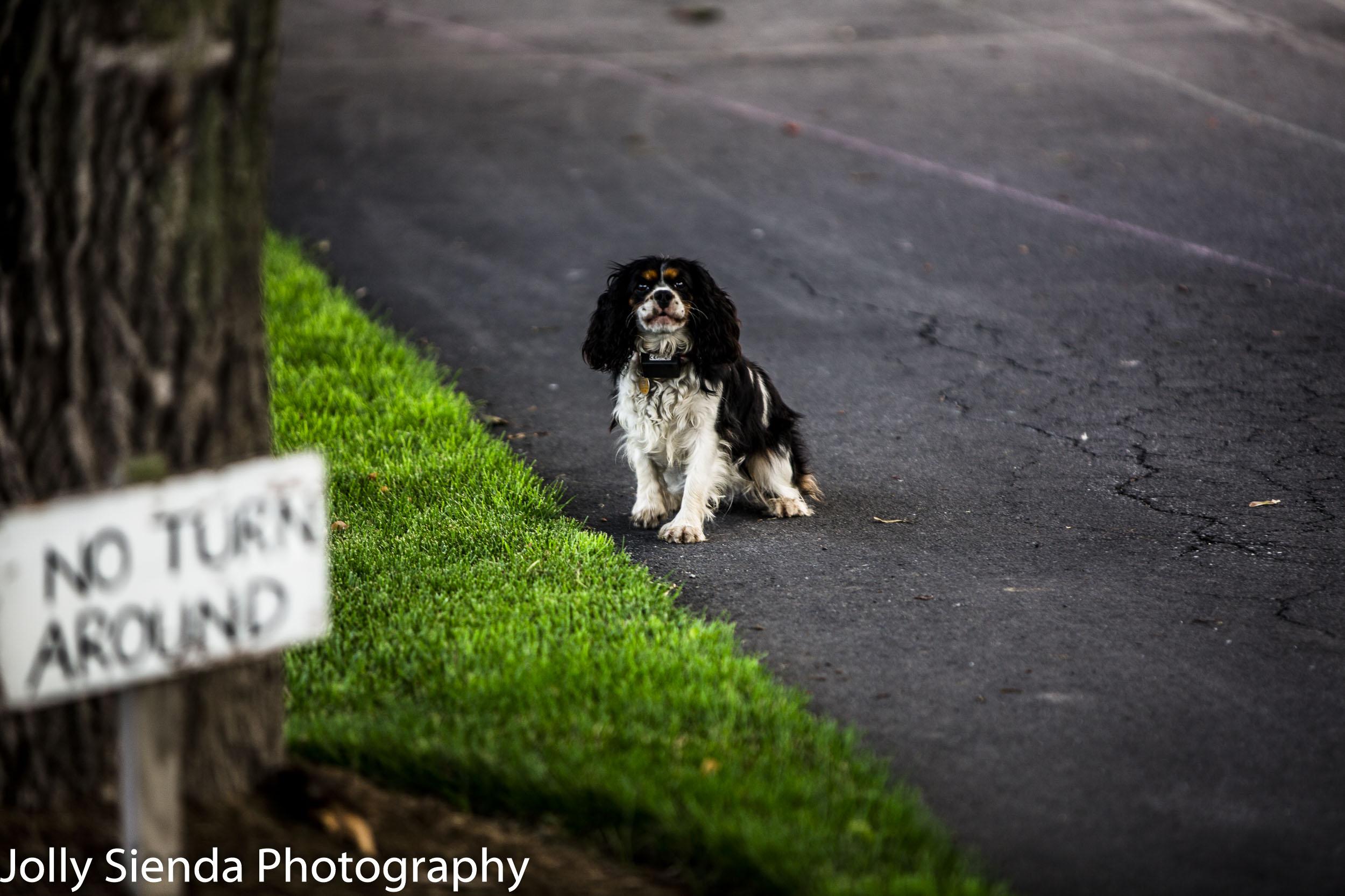 No Turn Around for the Cocker Spaniel Dog
