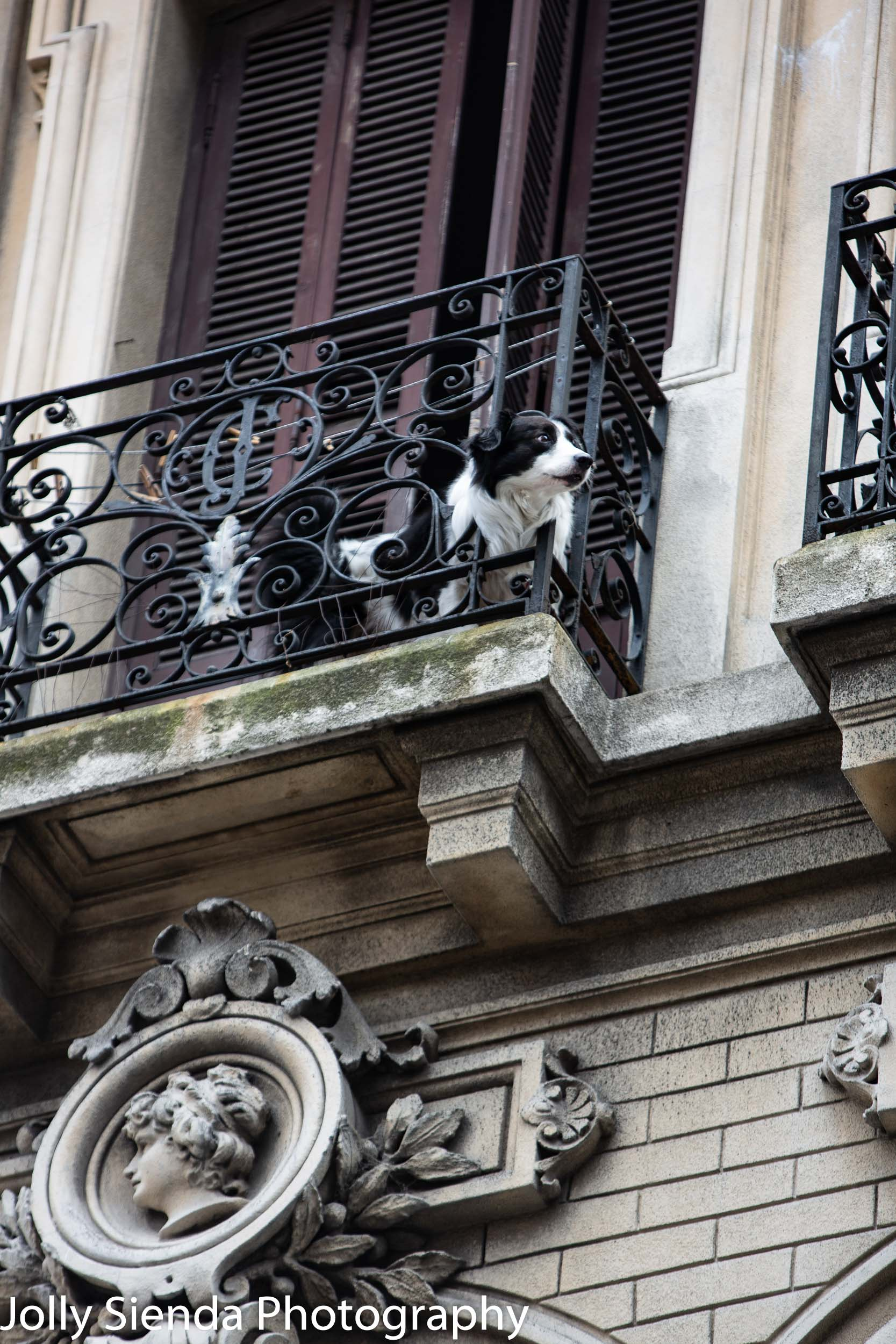 Dog looks out on a Spanish rod iron balcony