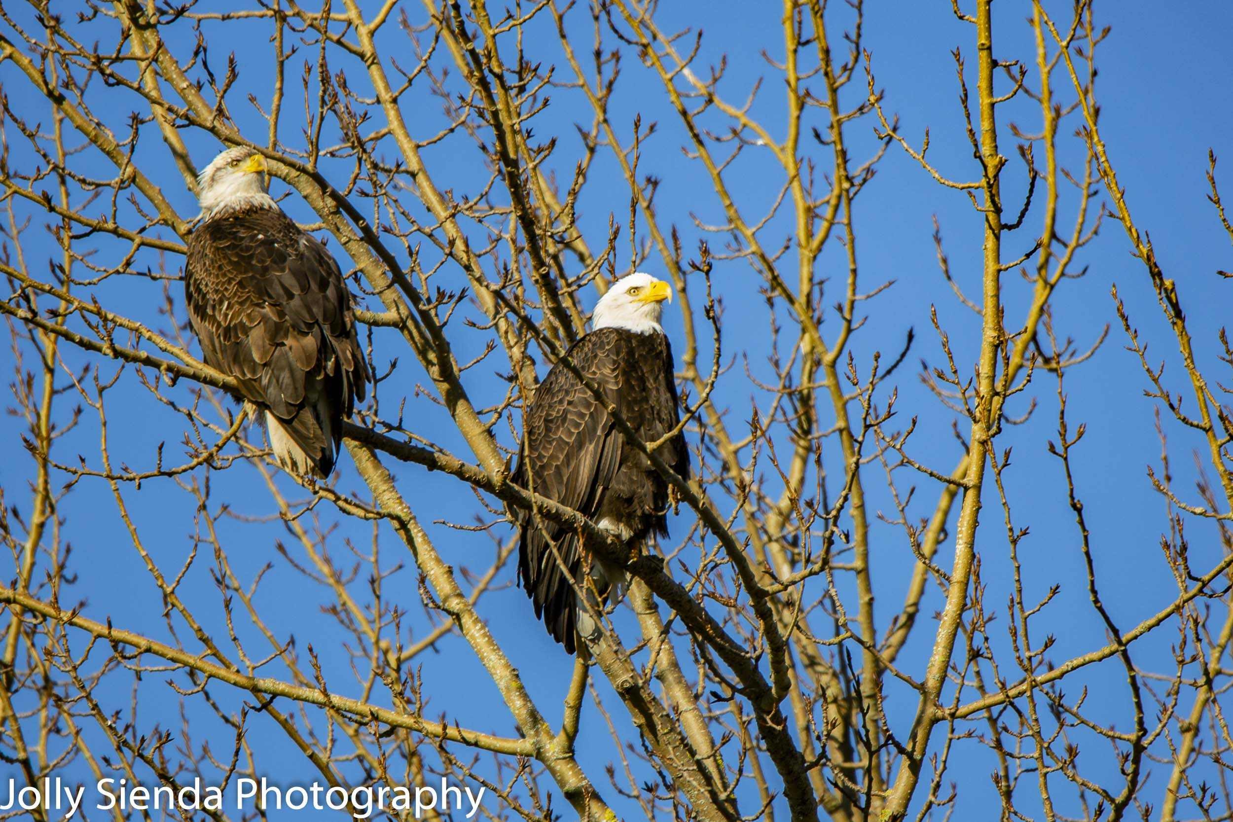 A pair of Bald Eagles, Skagit Valley, Washington
