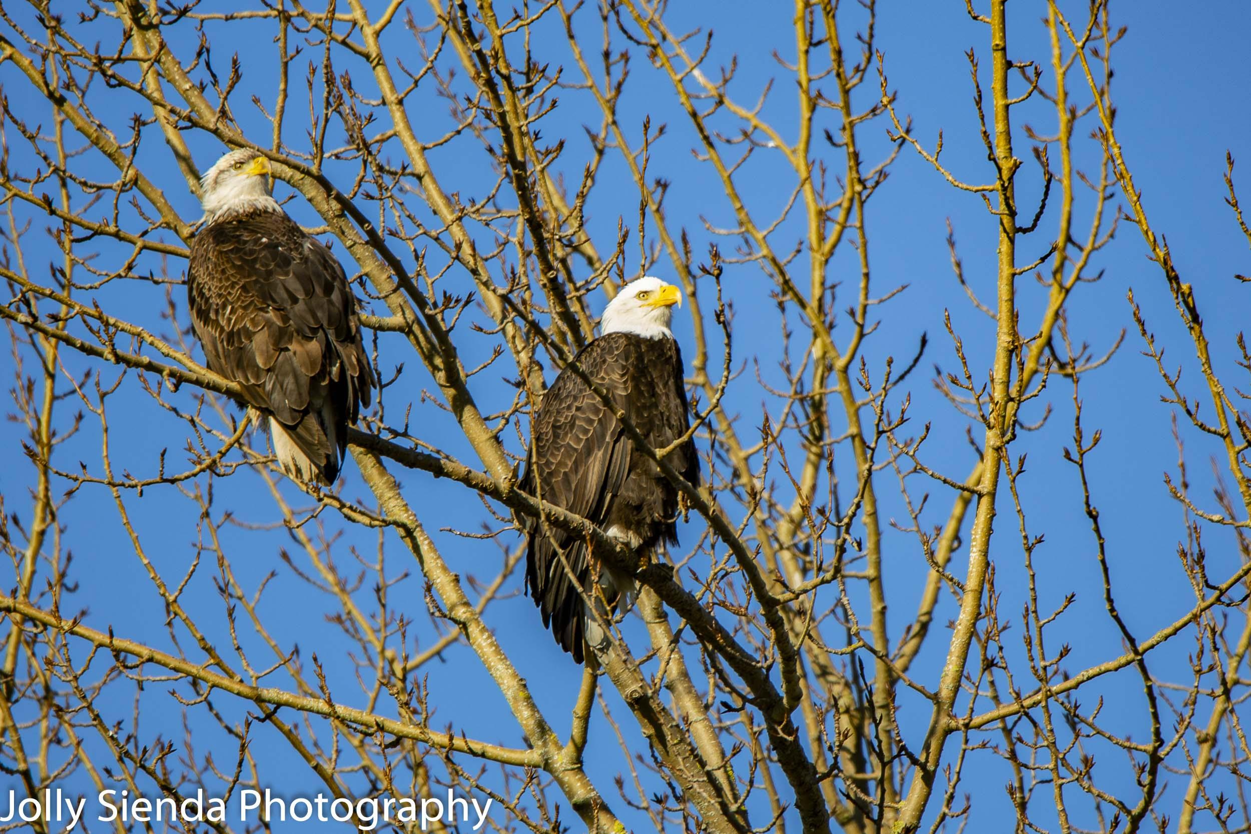 A pair of Bald Eagles, Skagit Valley, Washington