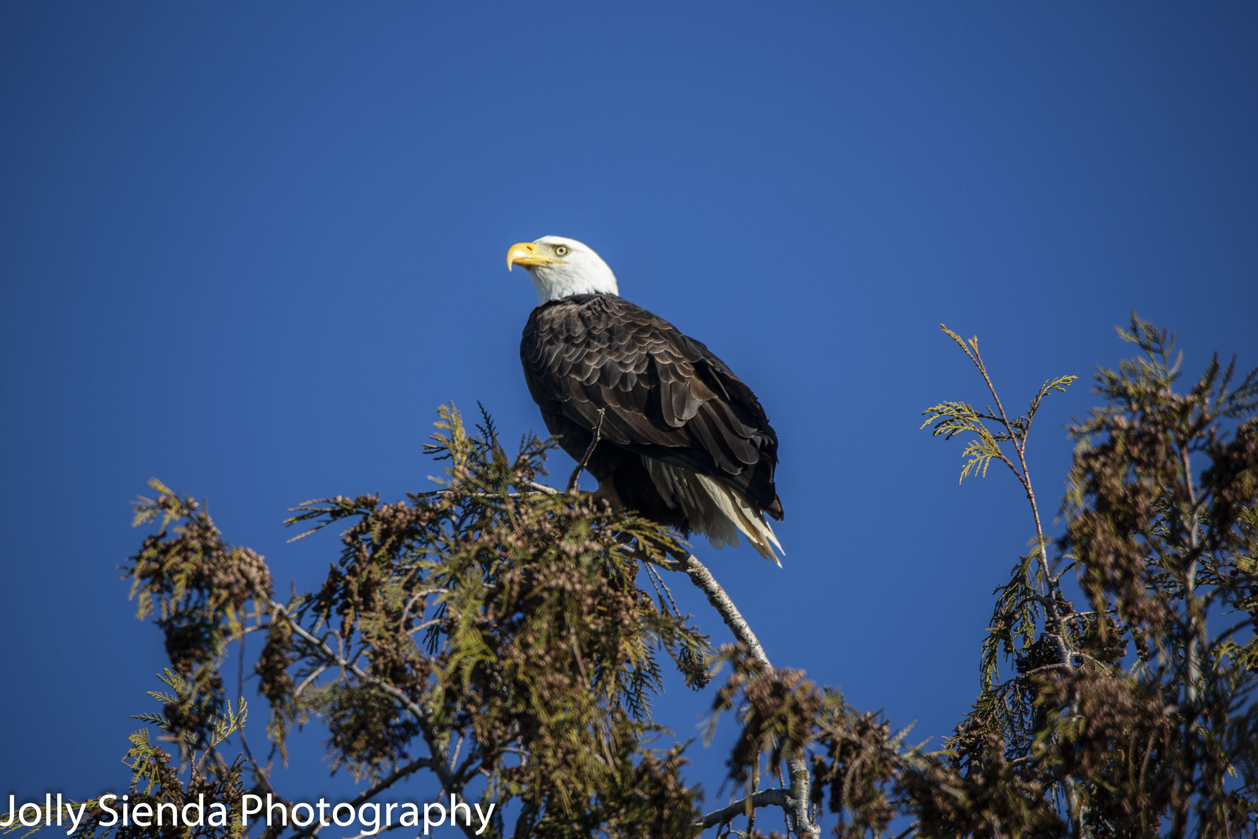 Bald Eagle perched on a Cedar tree