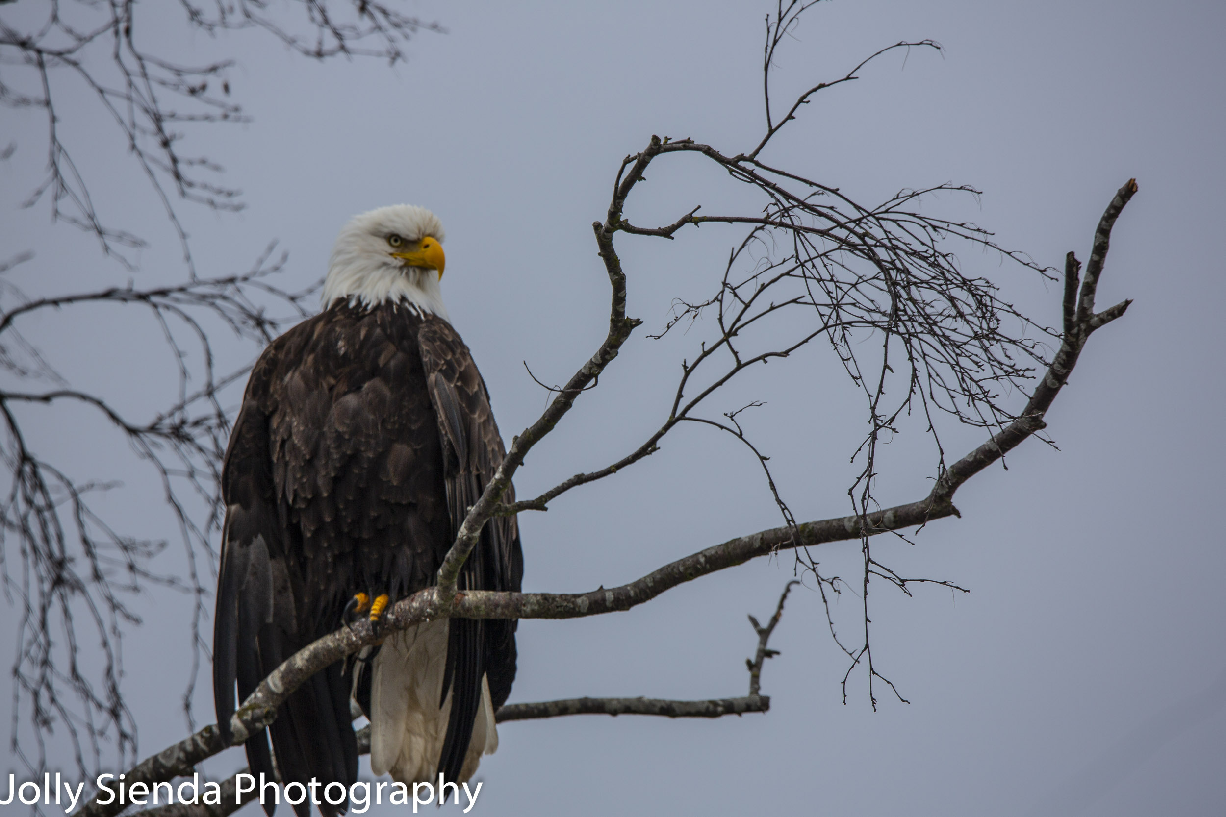 Bald Eagle on a winterized tree branch at Skagit Valley, Washington