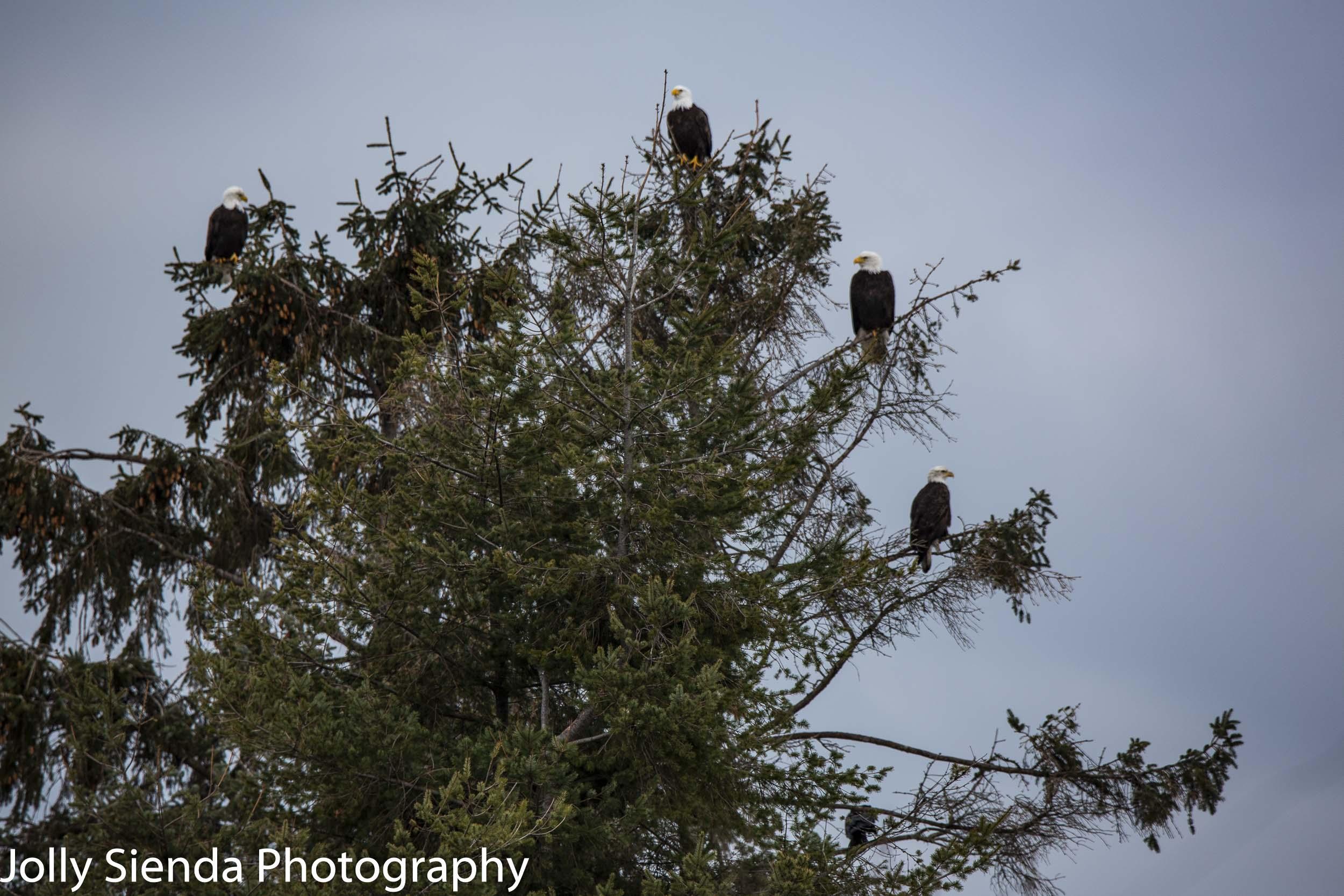 Bald Eagles up in a tree, Skagit Valley, Washington