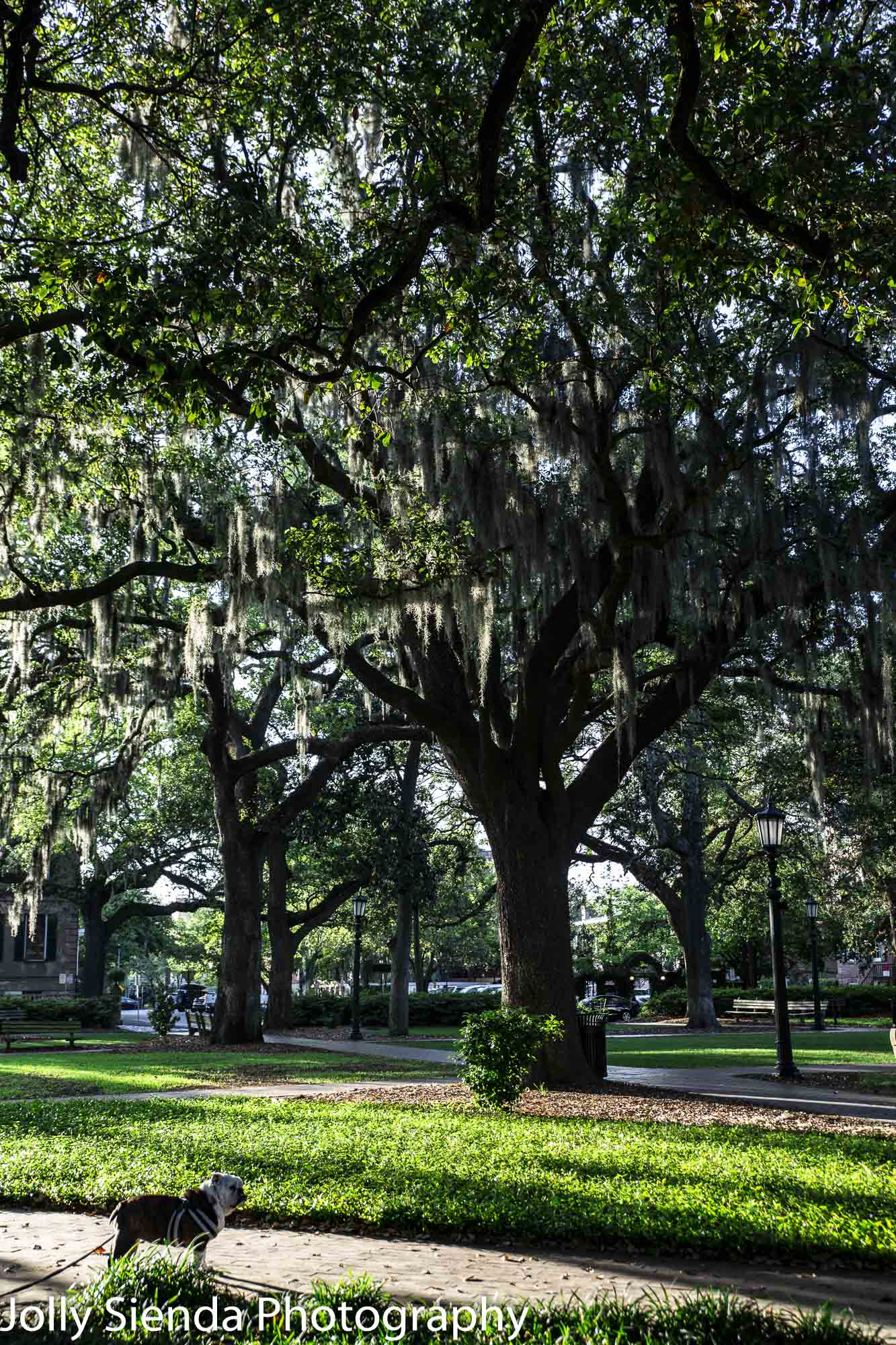 Dog and Spanish Moss tree at Oglethorpe Square