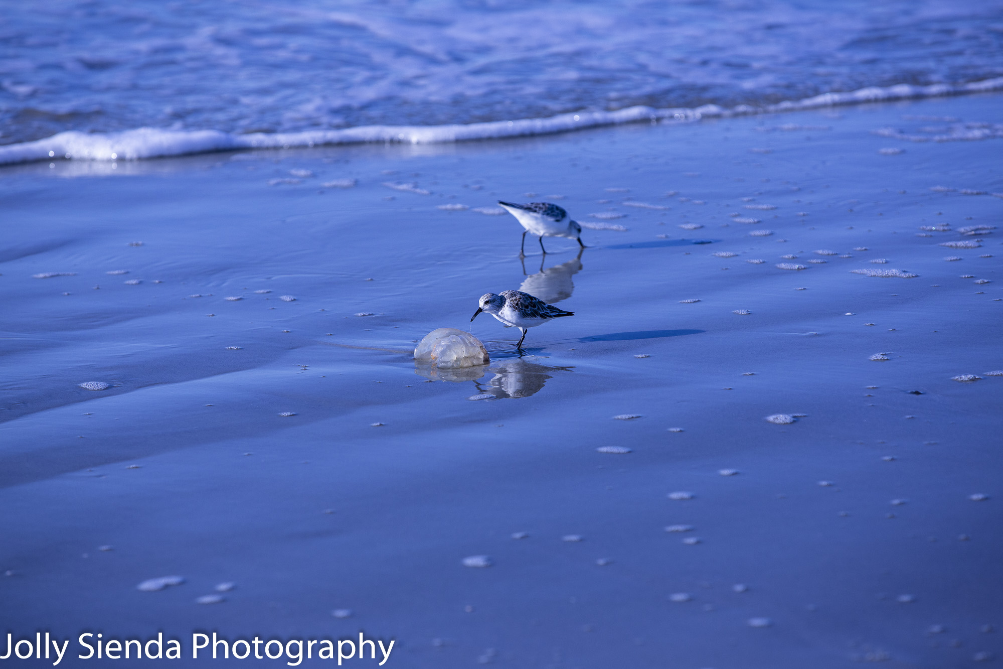 Sandpipers peck at jellyfish on the beach at Fripp Island.