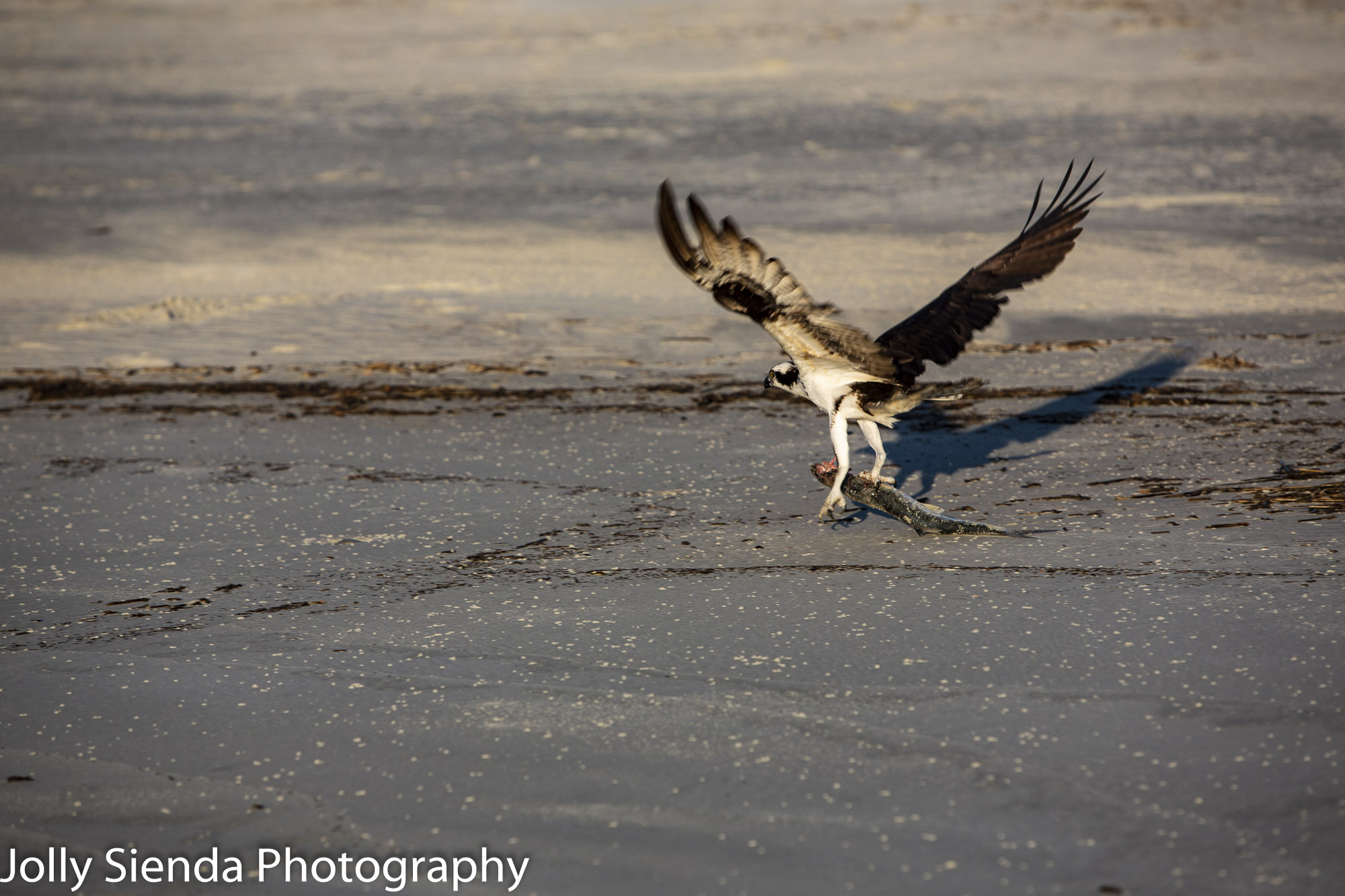 Osprey with the catch of the day! The Osprey hold the fish in his talons and takes off from the beach.