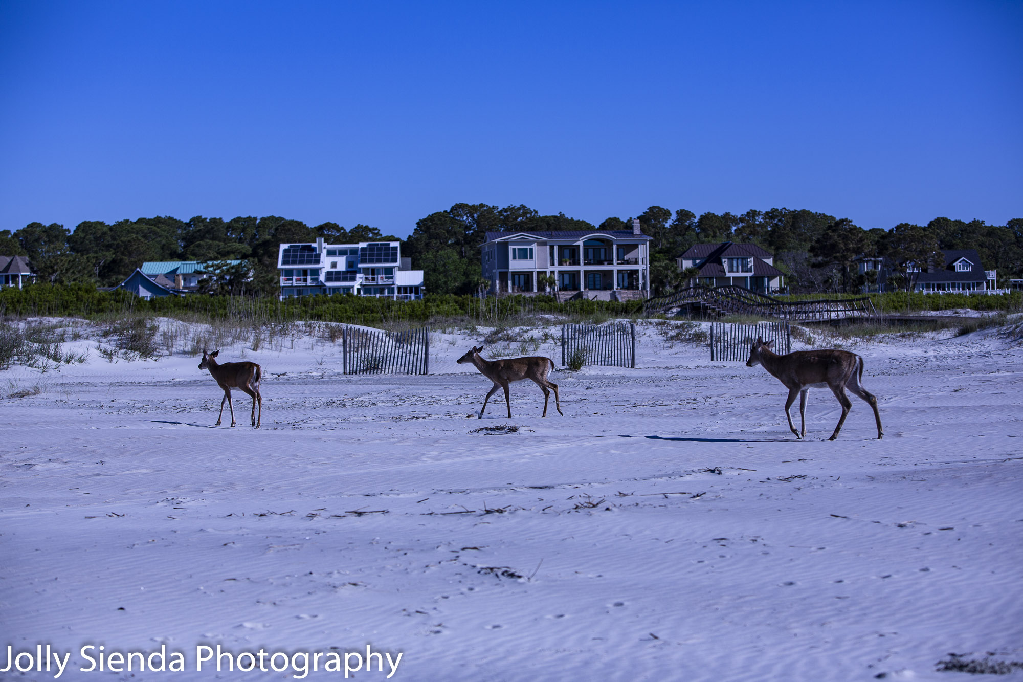 Three deer trotting on the beach