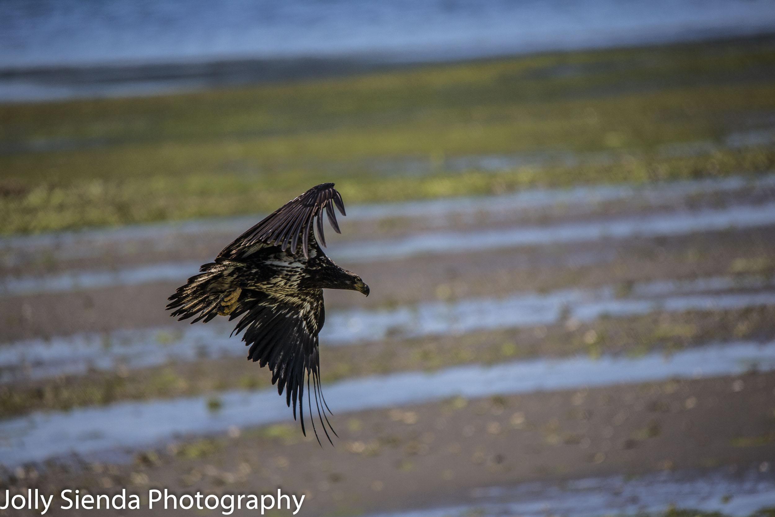 Juvenile Eagle flies over low tide at Seabeck, WA.
