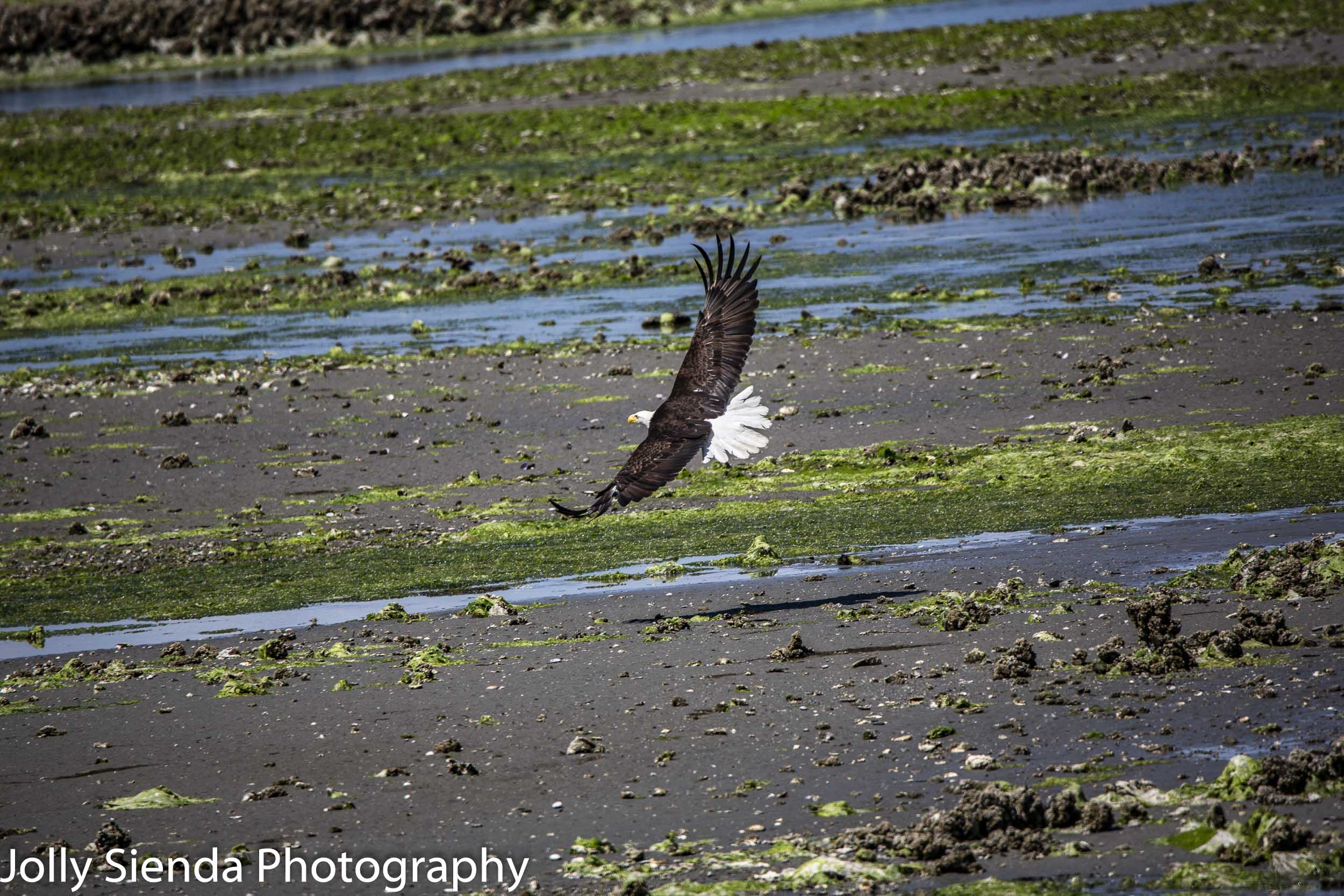 Bald Eagle flies over low tide at Seabeck