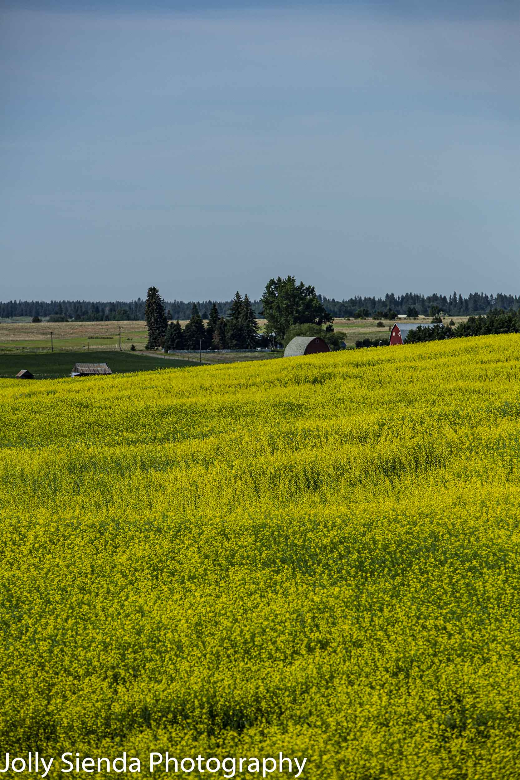 Yellow mustard fields lead to the red barns