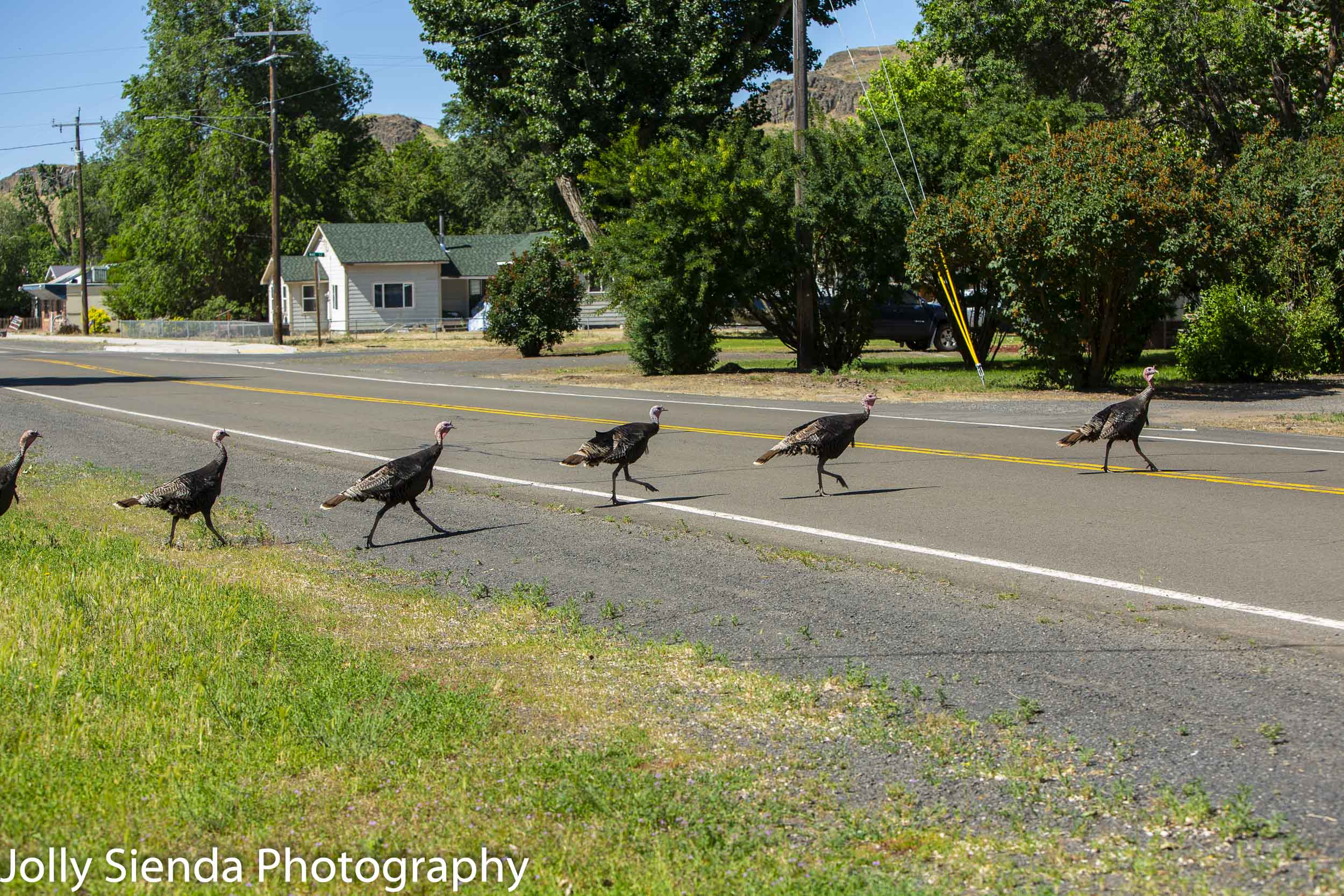 Seen any wild turkeys lately?!