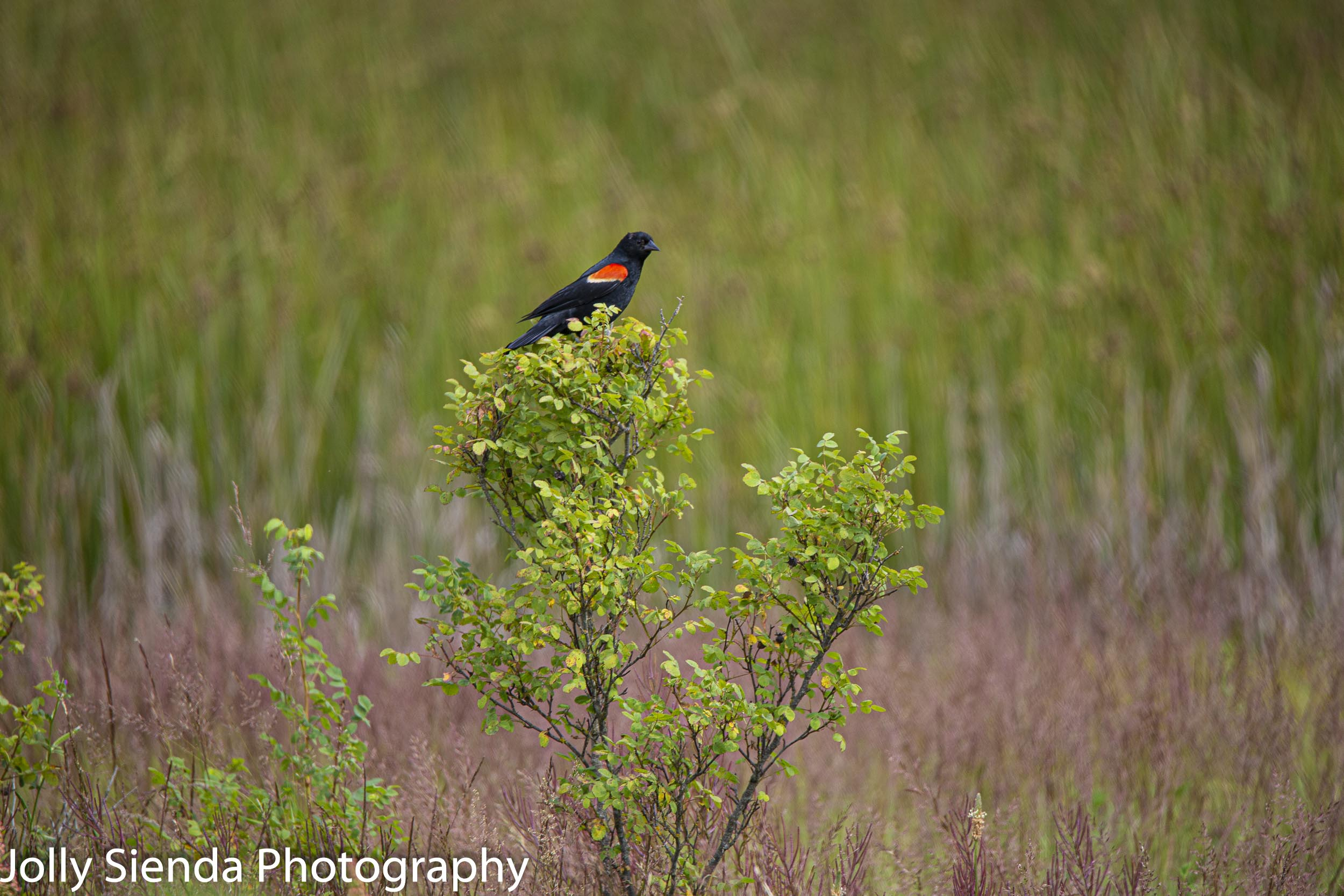 Red Winged Blackbird on a bush at the wetlands along the Shine Tidelands State Park, Olympic Peninsula
