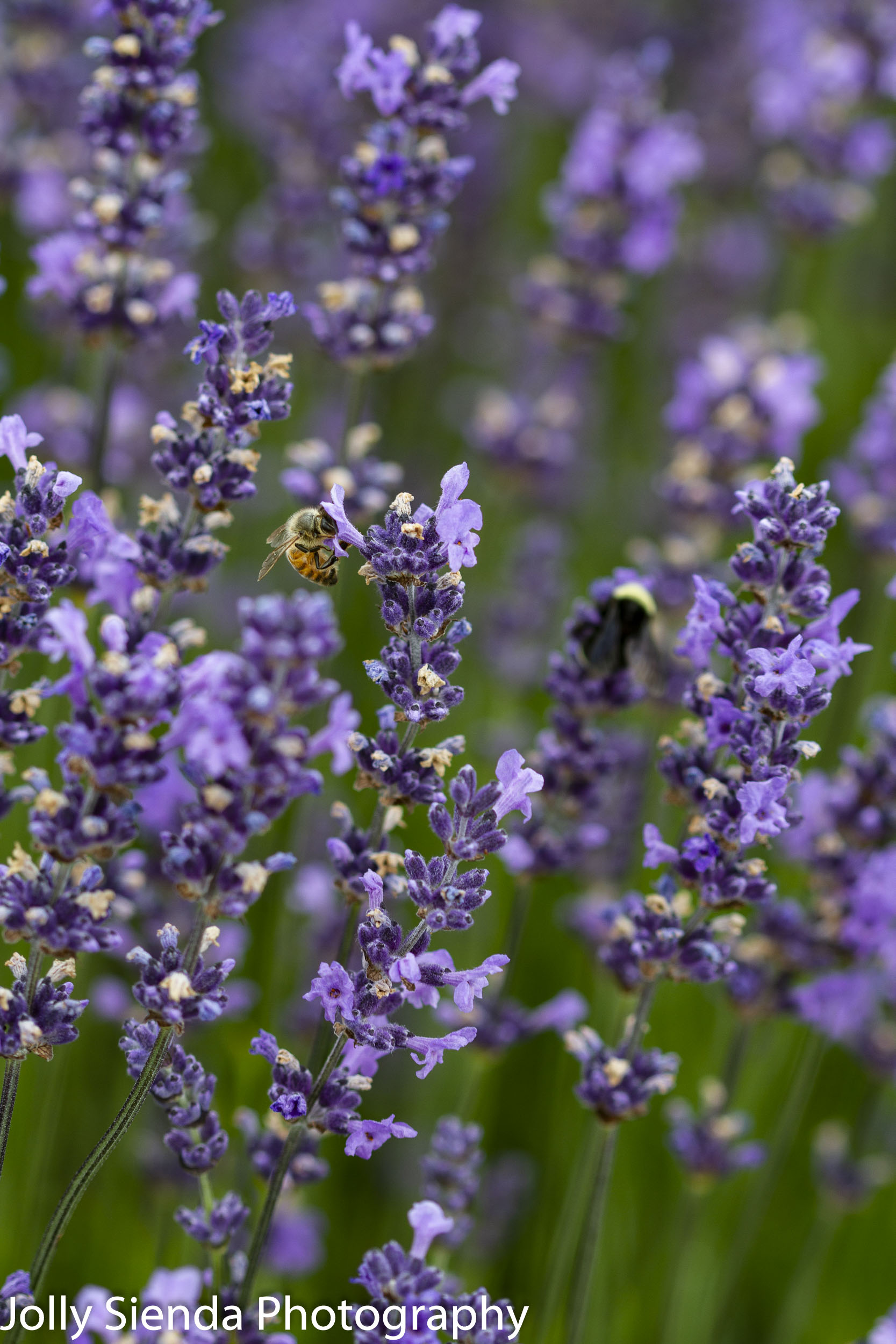 Bees polinating the lavender