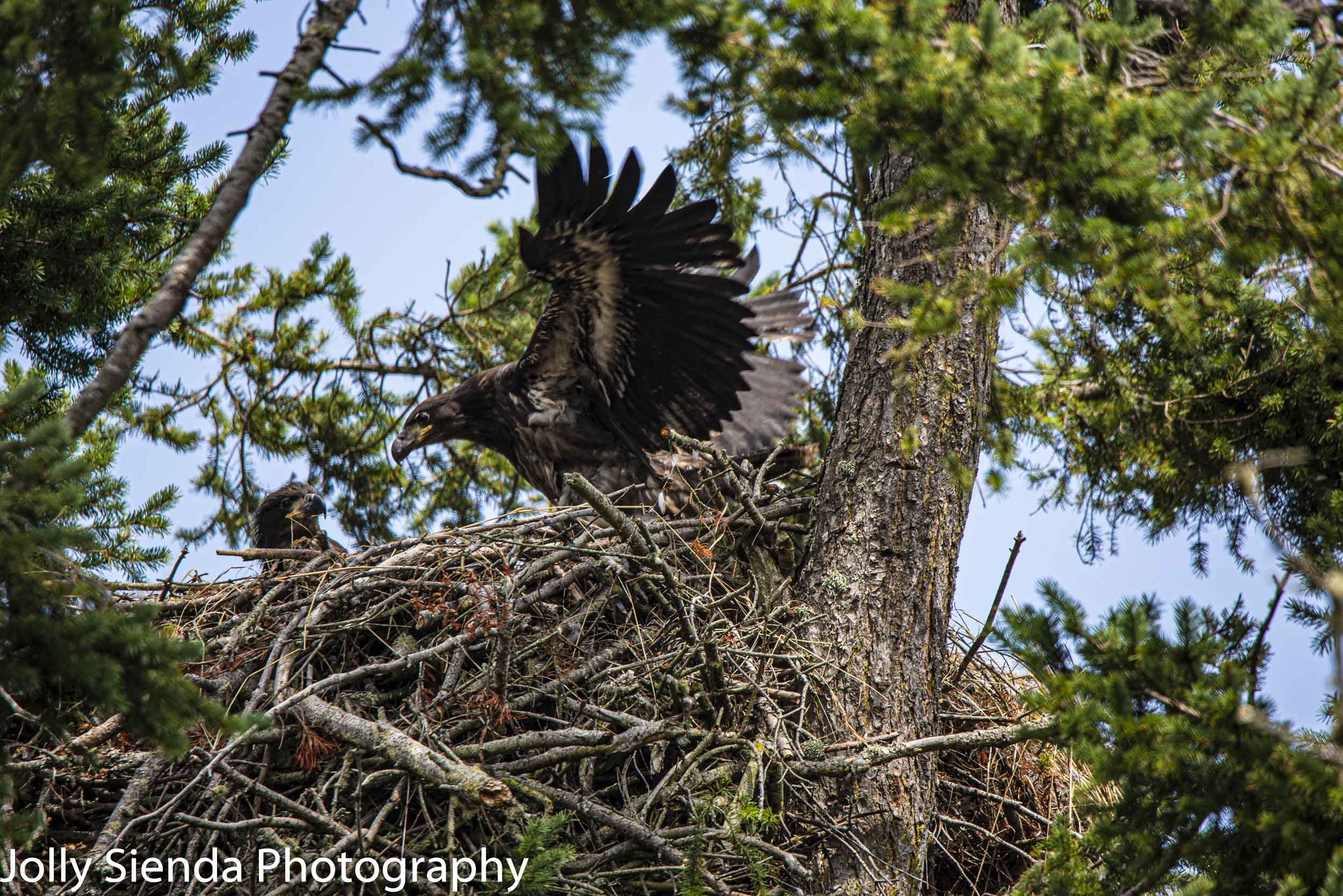 Young juvenile Bald Eagles learn to fly while fledgling in their nest, Sequim, Washington