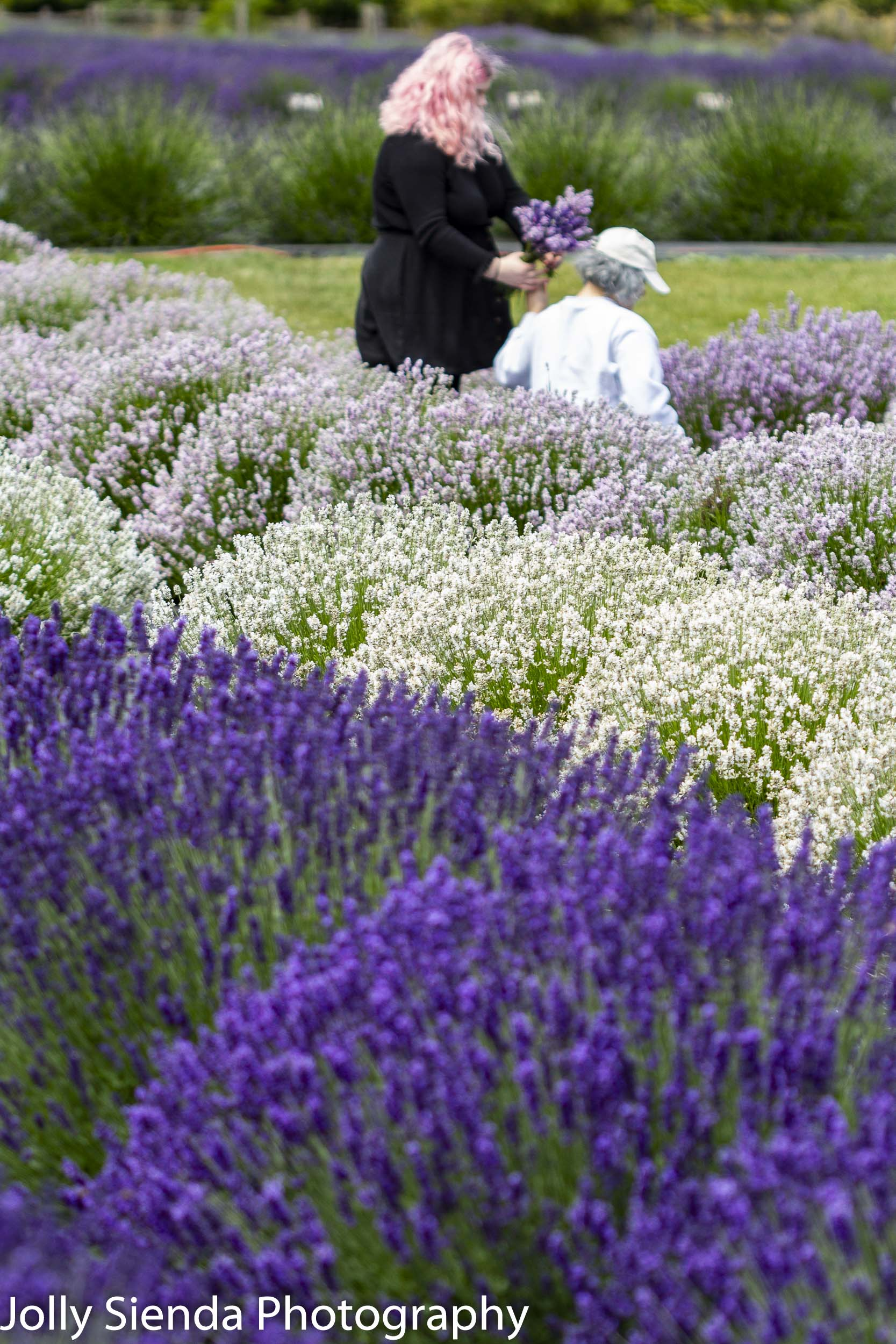 People picking lavender