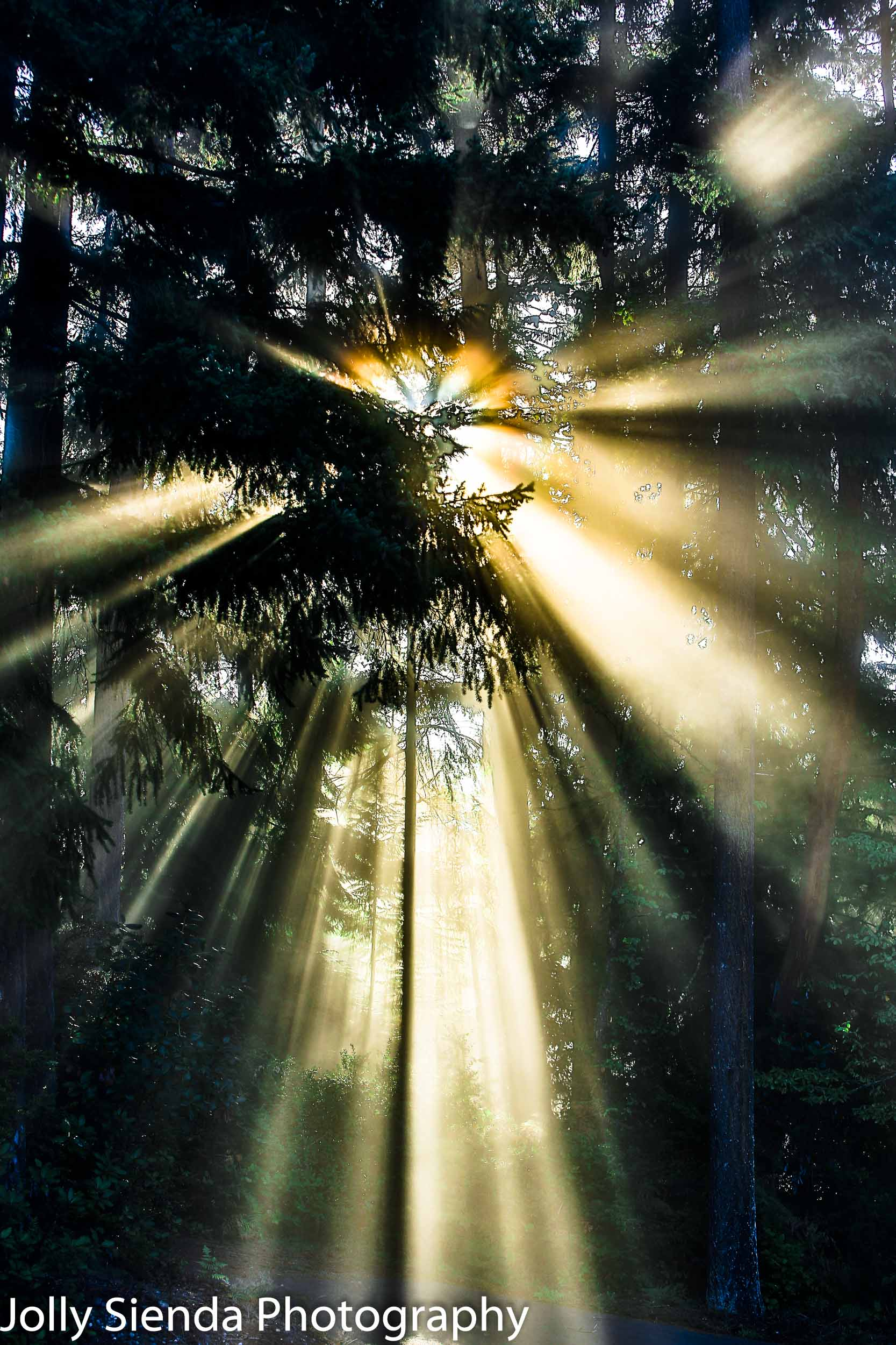 Heavinly sunlight streams through the towering Evergreen Trees
