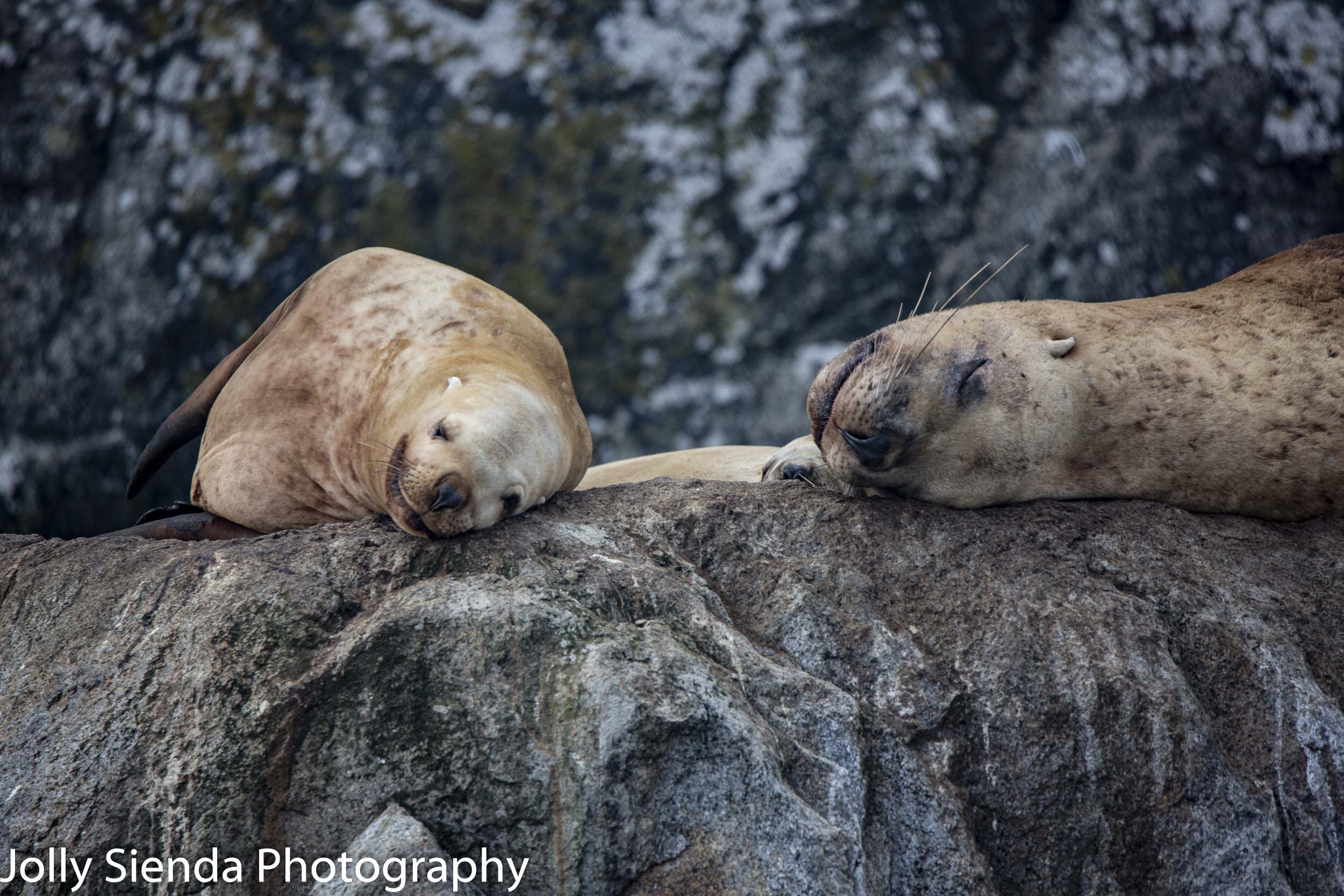 Sea lions napping; Kenai Fjords, near Seward, Alaska